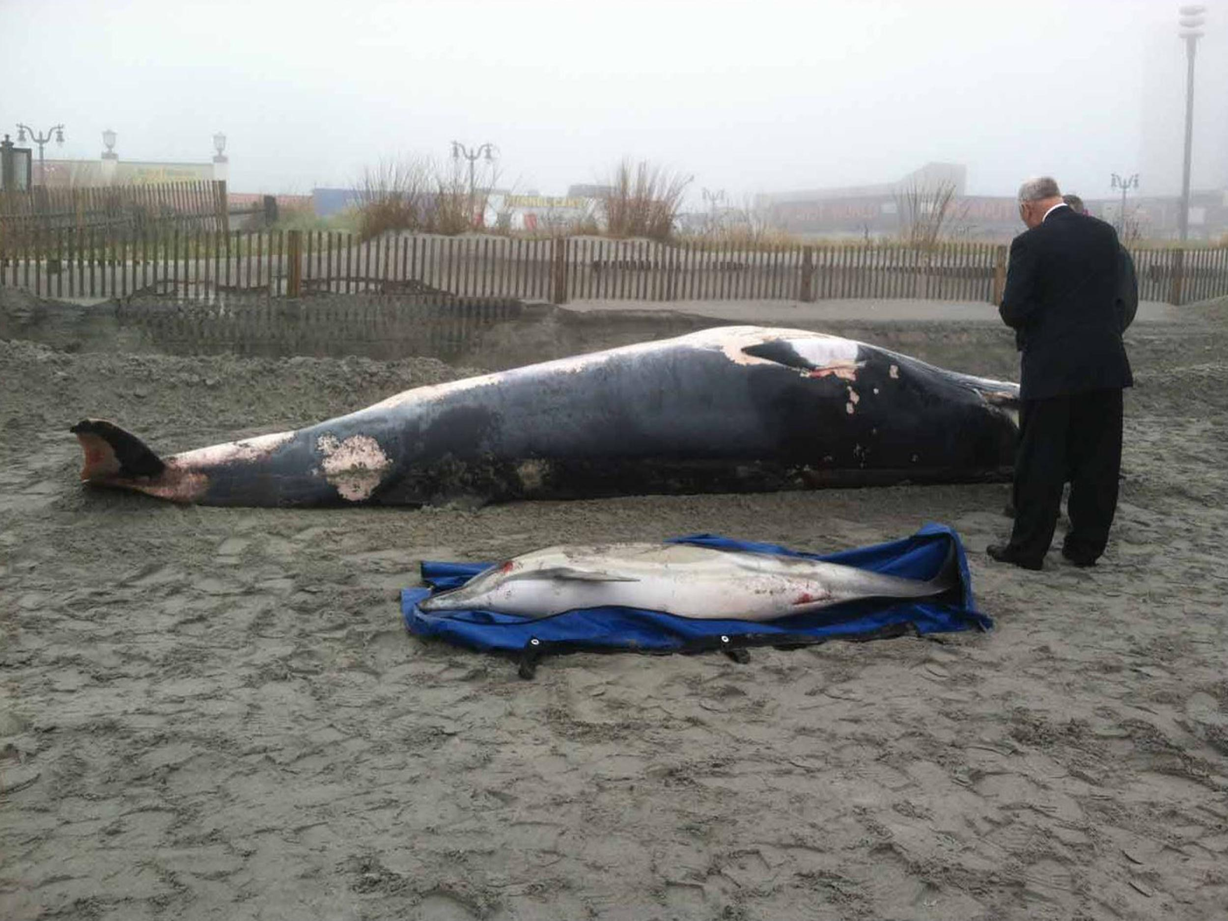 A minke whale washed up along with a common dolphin in Atlantic City, N.J., on May 1, 2014.