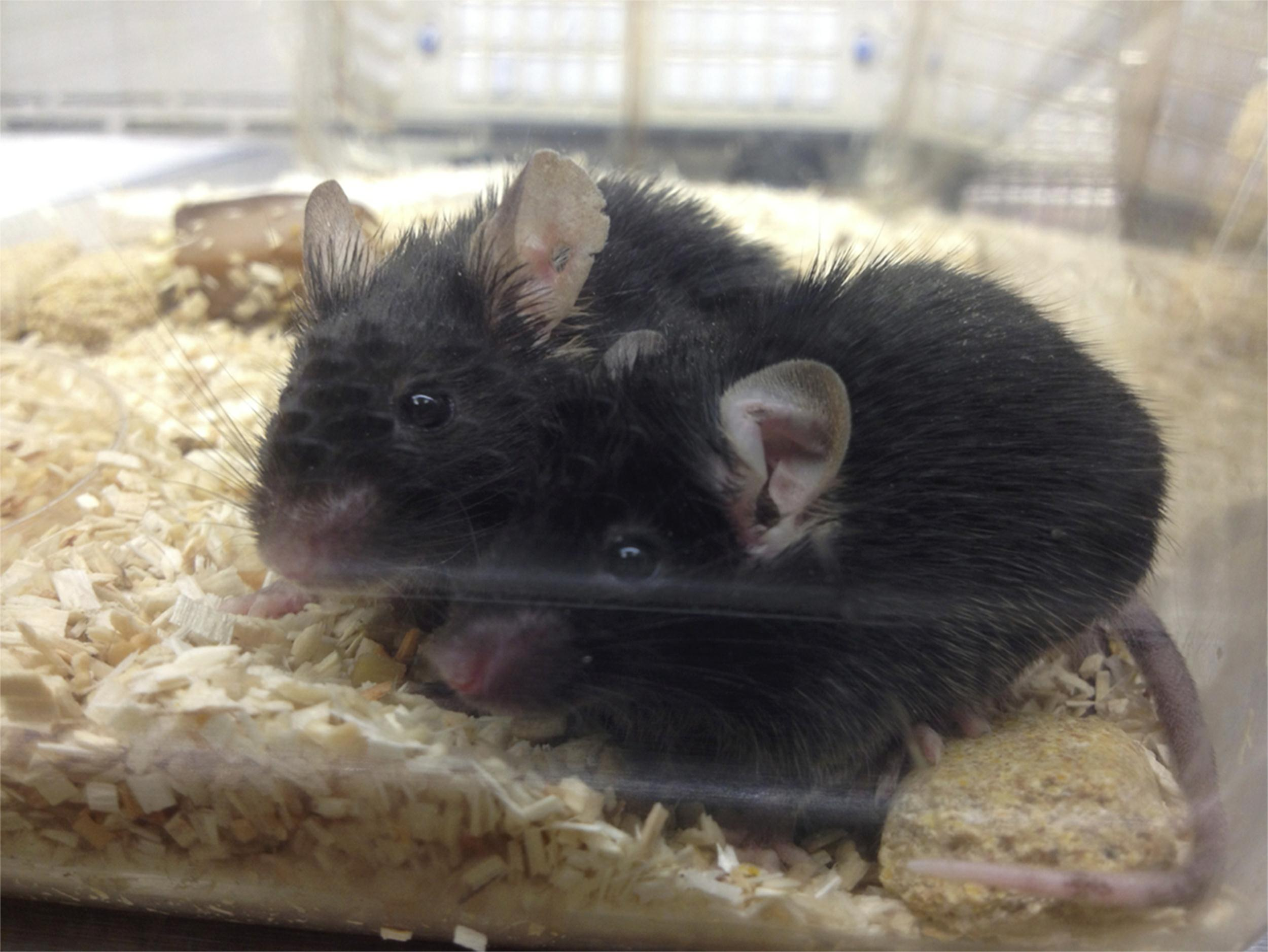 Image: Blood from young mice boosted the memory and muscles of old mice
