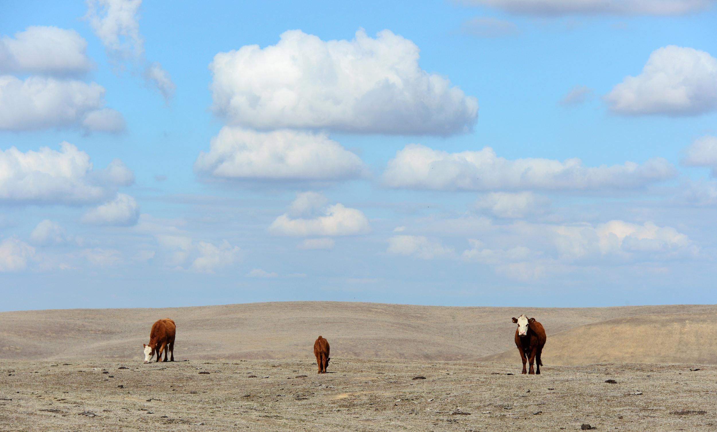 Image: Hereford cattle roam the dirt-brown fields in California's Central Valley