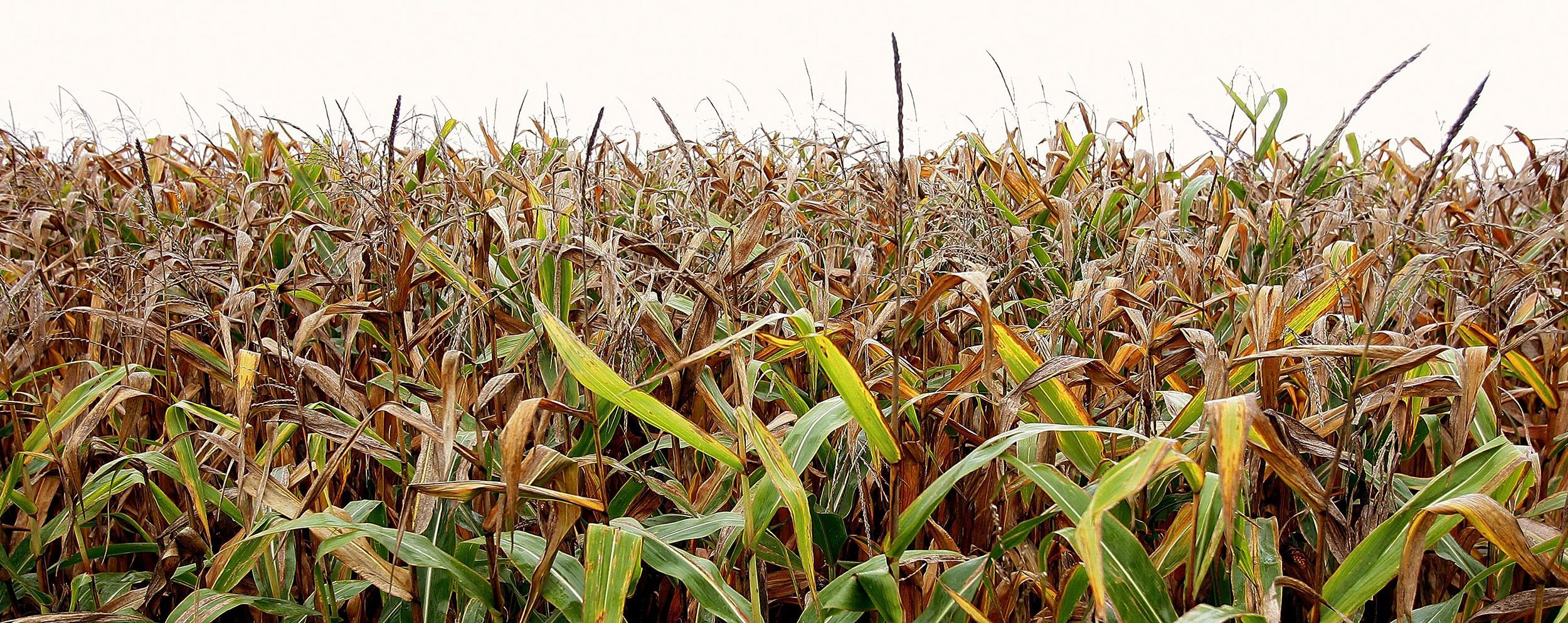 A new reports finds higher levels of carbon dioxide might hurt zinc and iron content of crops like corn.