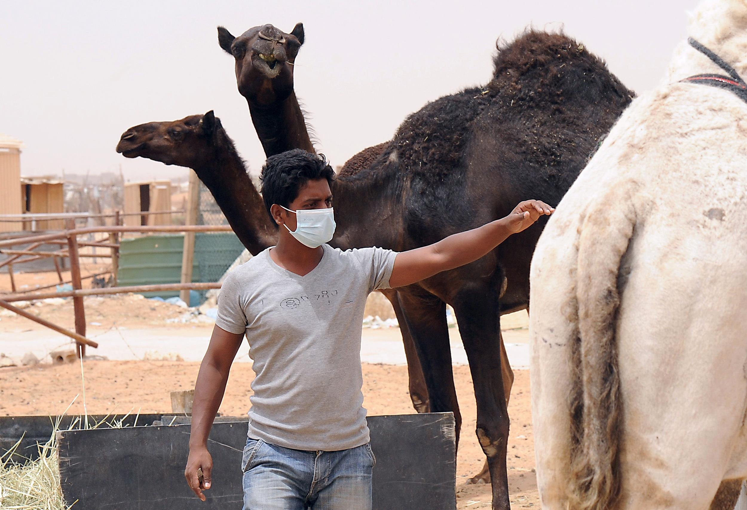 Image: An Indian worker wears a mouth and nose mask next to camels as he works at his Saudi employer's farm