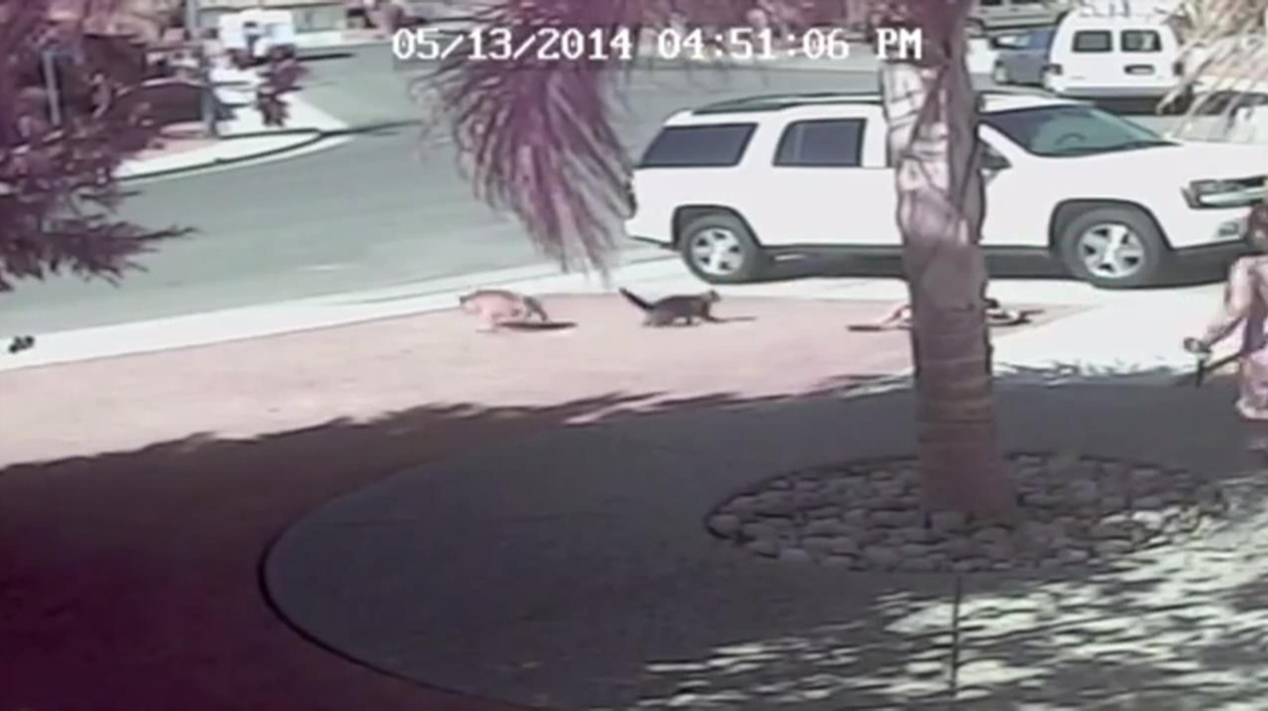 Image: A cat defends a boy during an attack from a dog