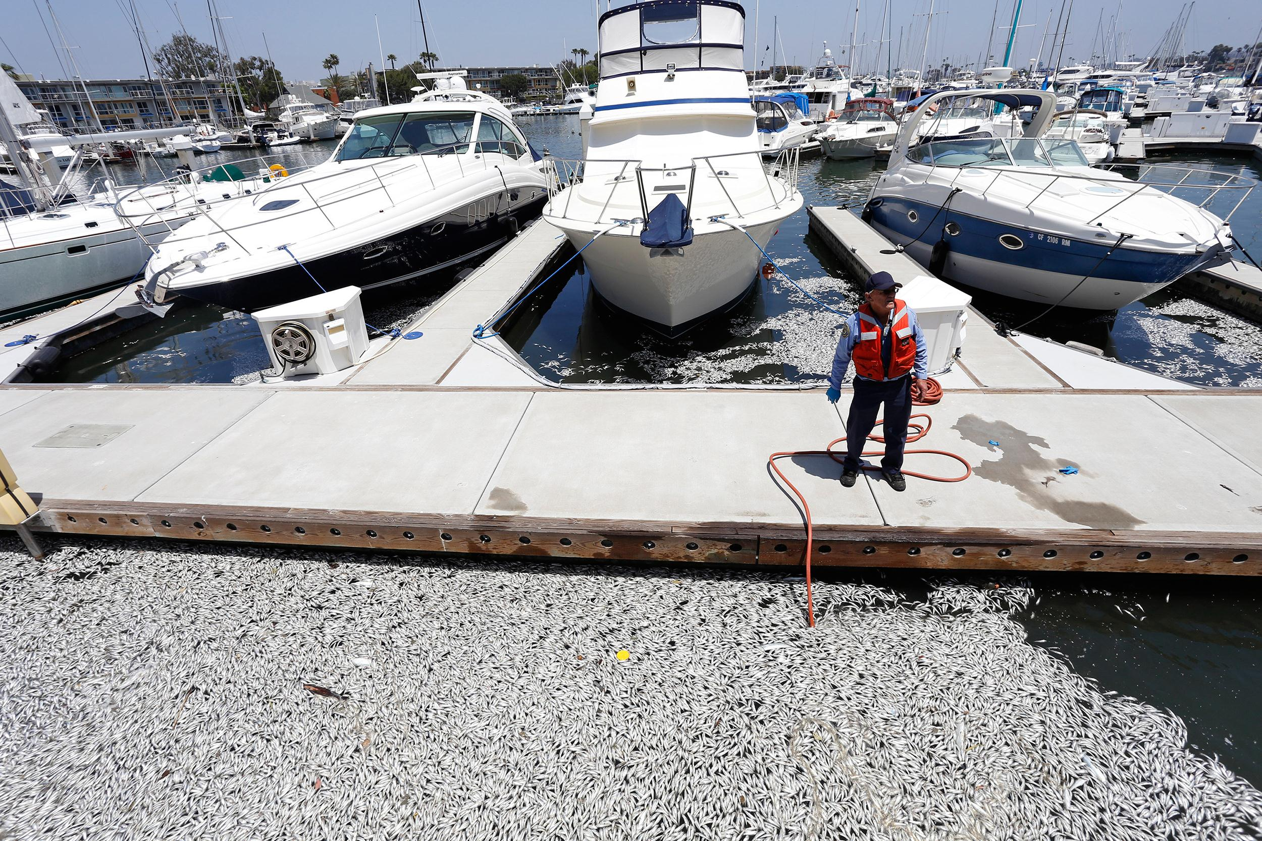 Image: Thousands of dead fish were found floating in Marina Del Rey, Calif