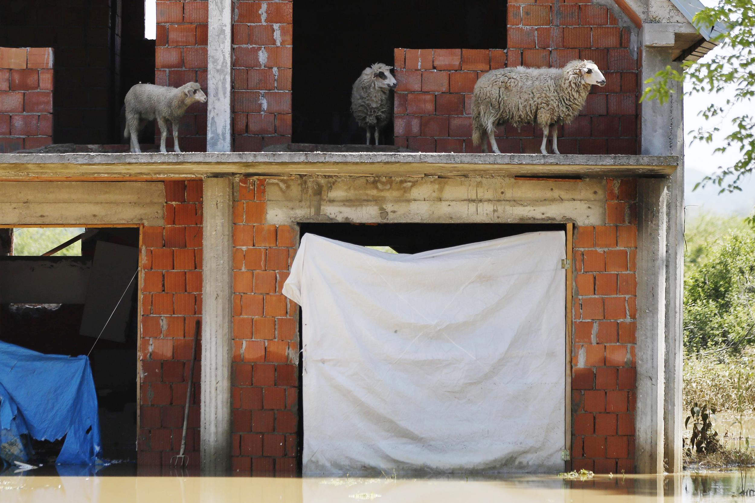 Image: Sheep are seen on the terrace of a flooded house in Obrenovac
