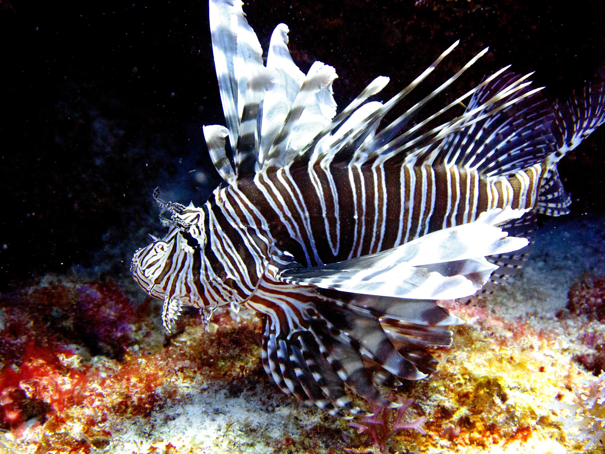 Image: A lionfish swims near coral off the Caribbean island of Bonaire