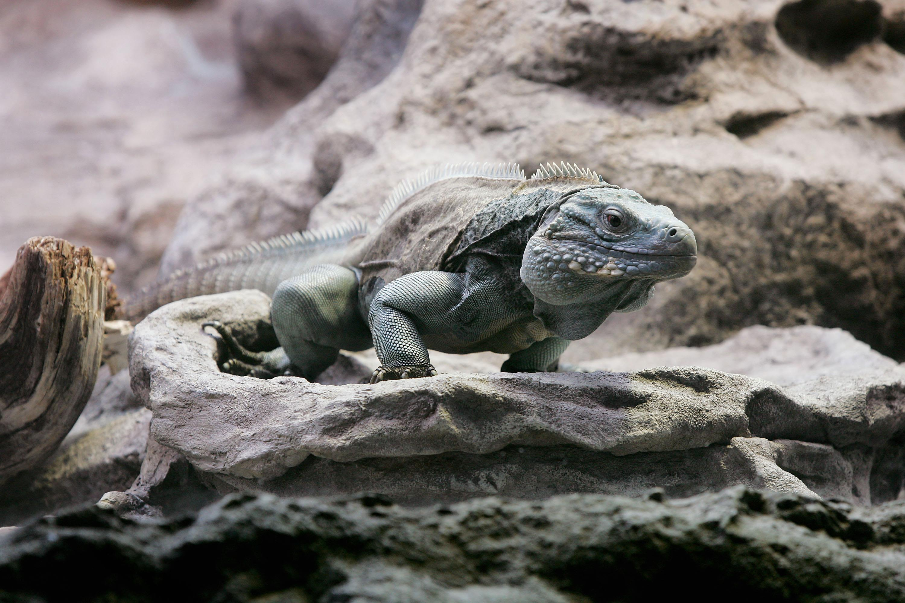 Image: A Grand Cayman Blue Iguana, one of the world's most endangered iguanas