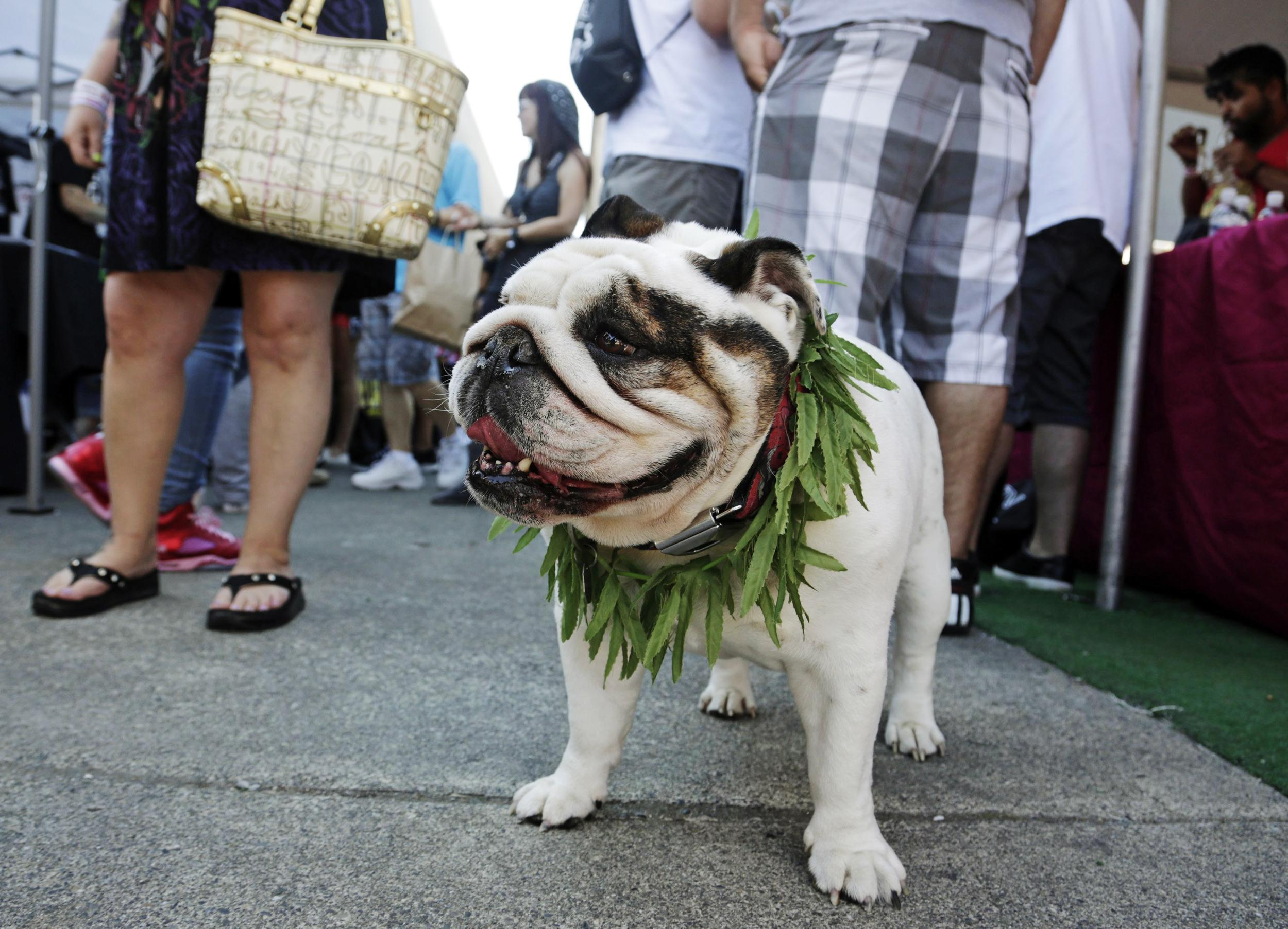 Image: An English Bulldog wears a marijuana-leaf lei at the High Times U.S. Cannabis Cup in Seattle