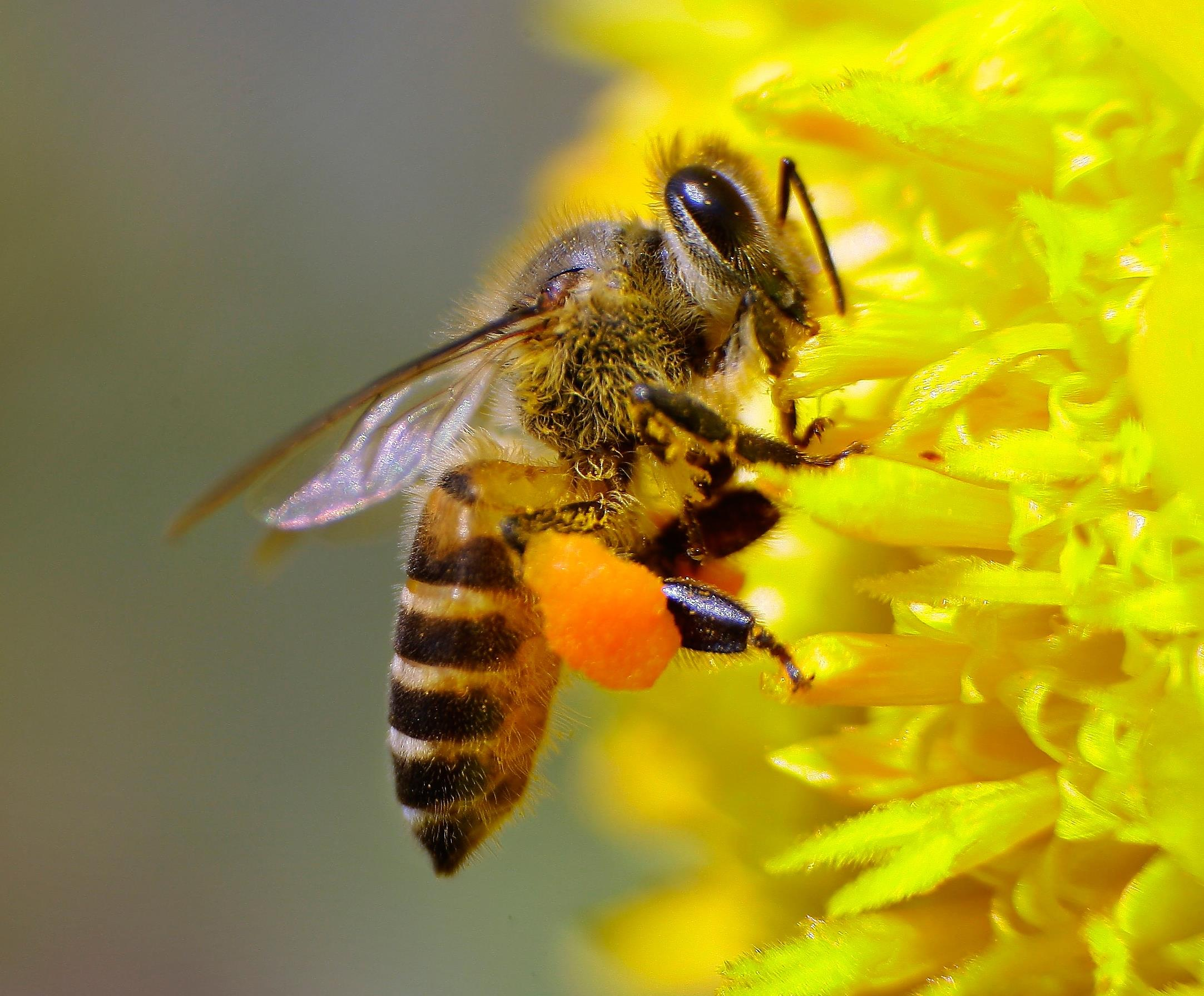 the honeybee protection crisis in the united states Food & agriculture tell kroger: step up and protect bees  friends of the earth  us applauds canada's ban on bee-killing pesticides, urges epa and food.