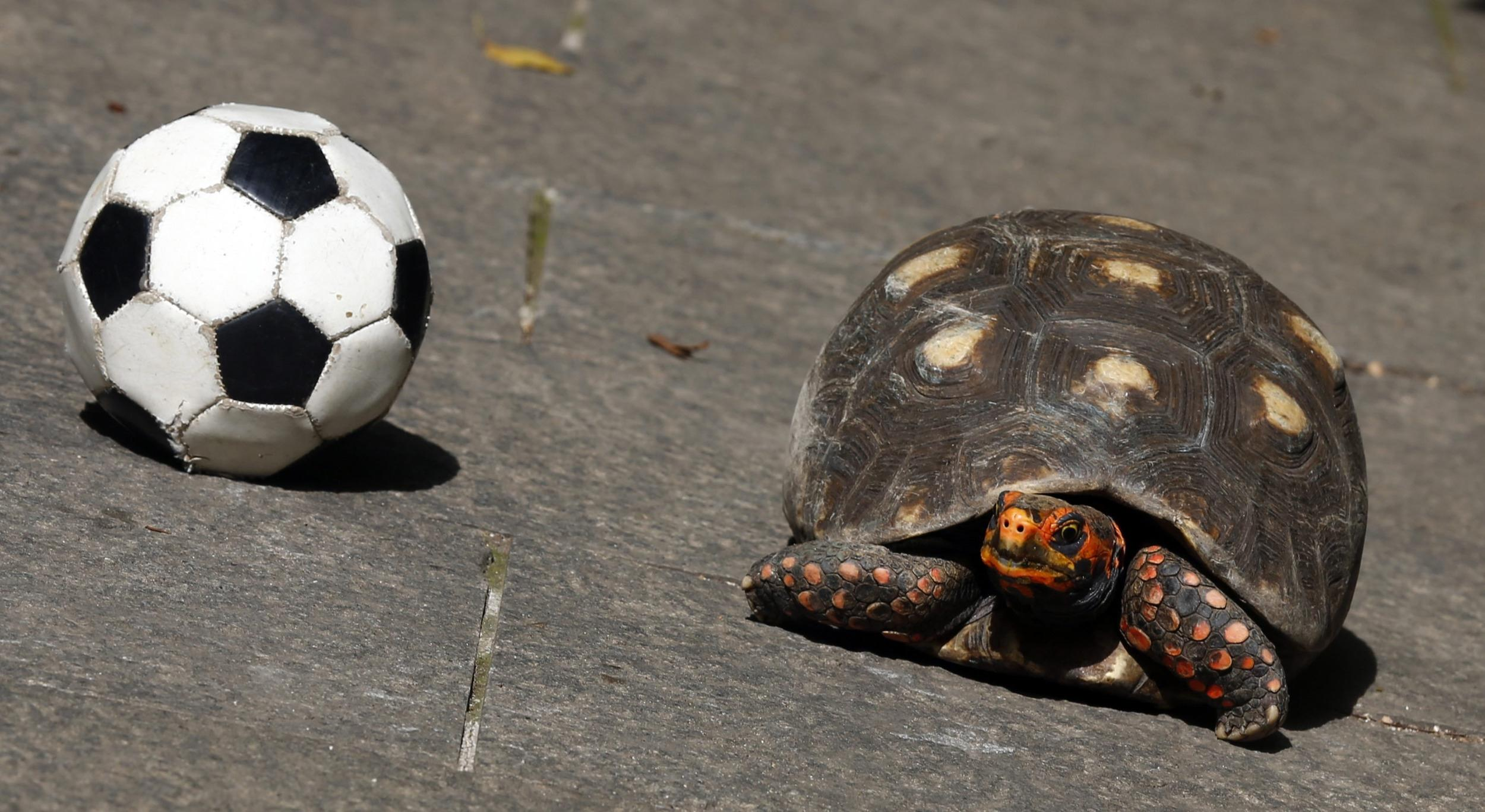Image: Tina the psychic turtle is seen next to a soccer ball in Rio de Janeiro