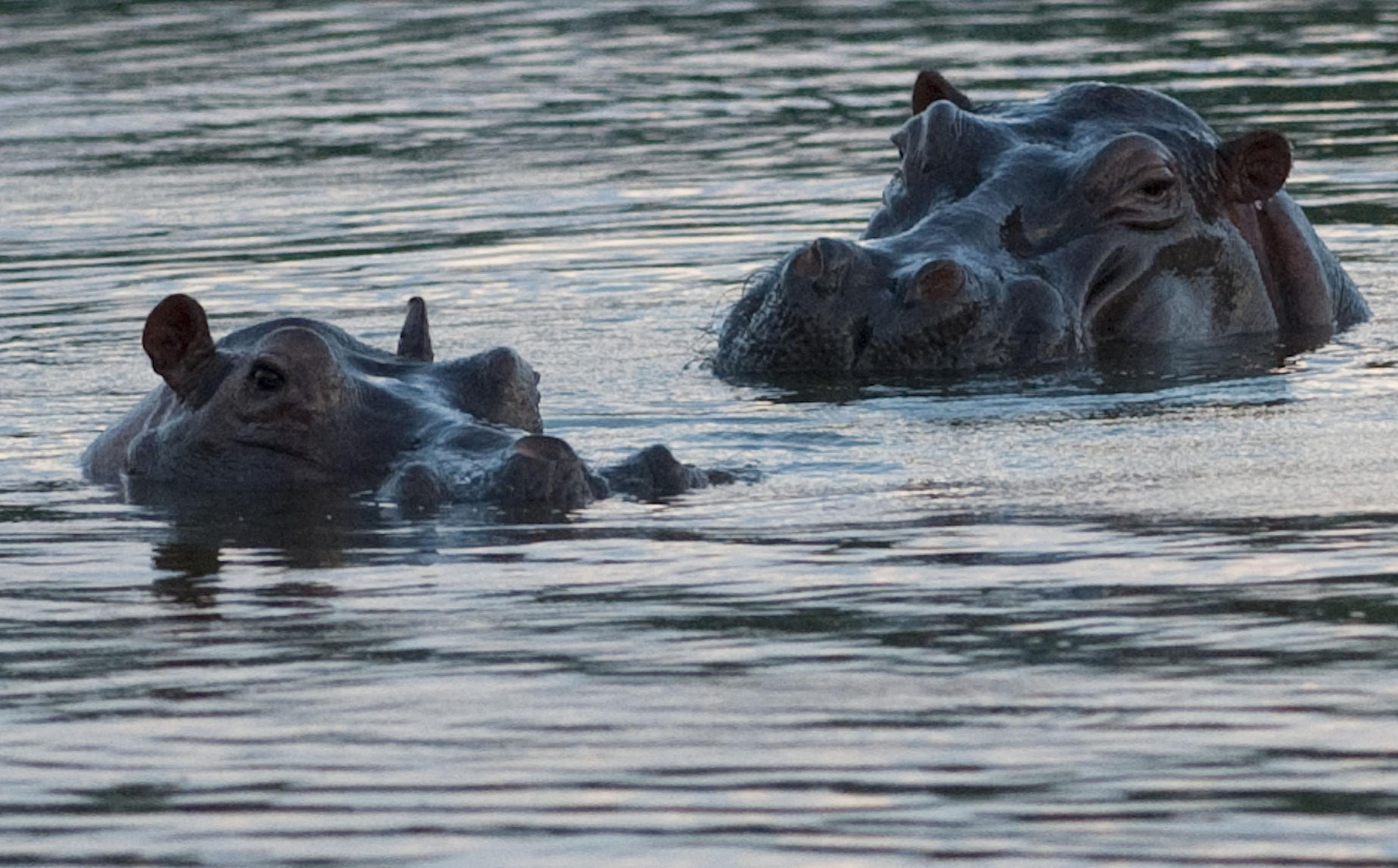 Hippopotamuses are seen at the Napoles ranch