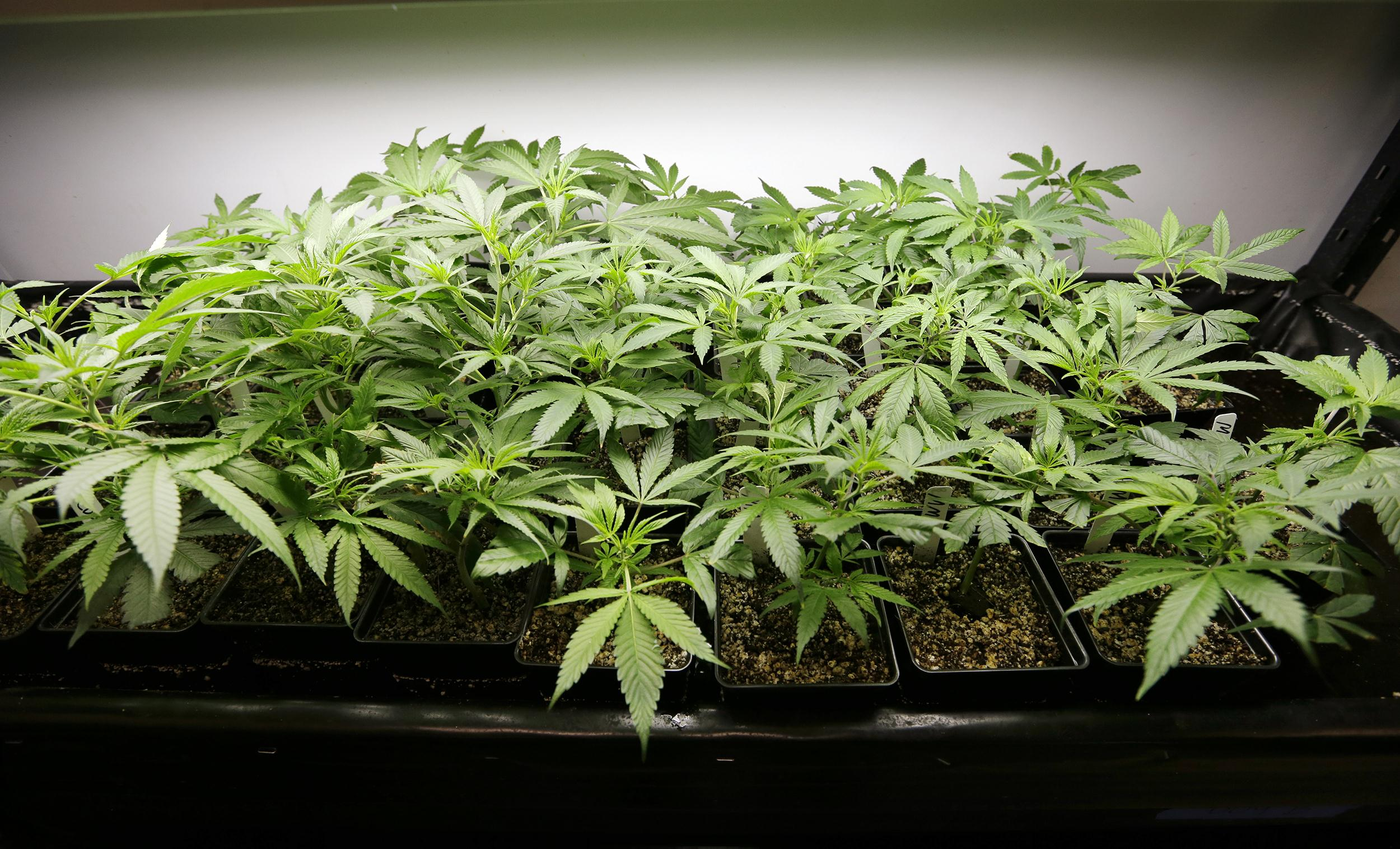 Image: One- to two-week-old marijuana starts sit under lights at a growing facility.