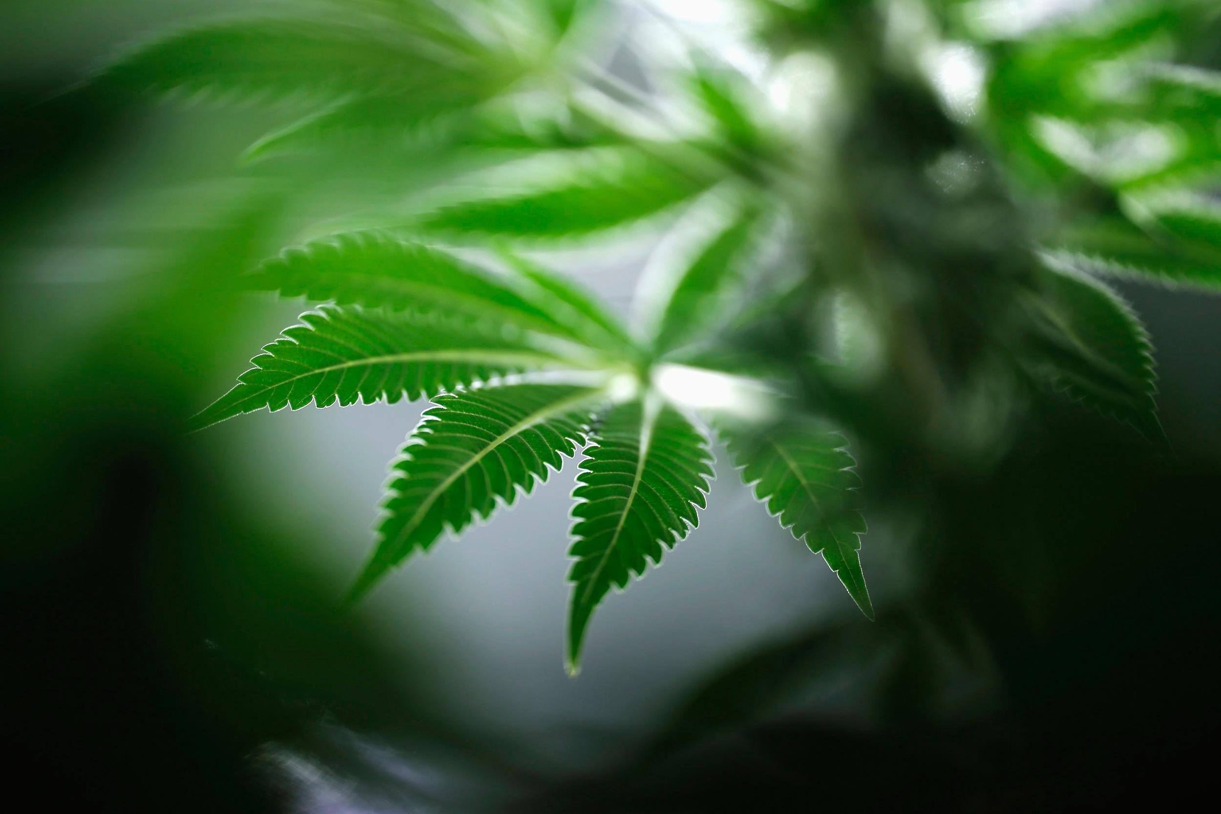 Image: A marijuana plant