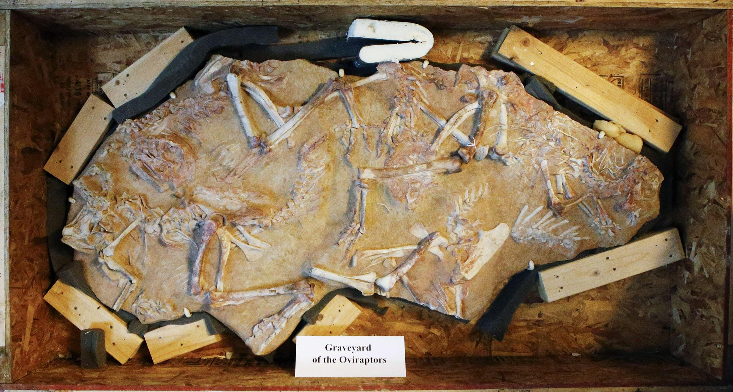 Image: Fossilized dinosaur bones are seen on a Oviraptors graveyard on display during a repatriation ceremony at the United States Attorney's Office of Southern District in New York