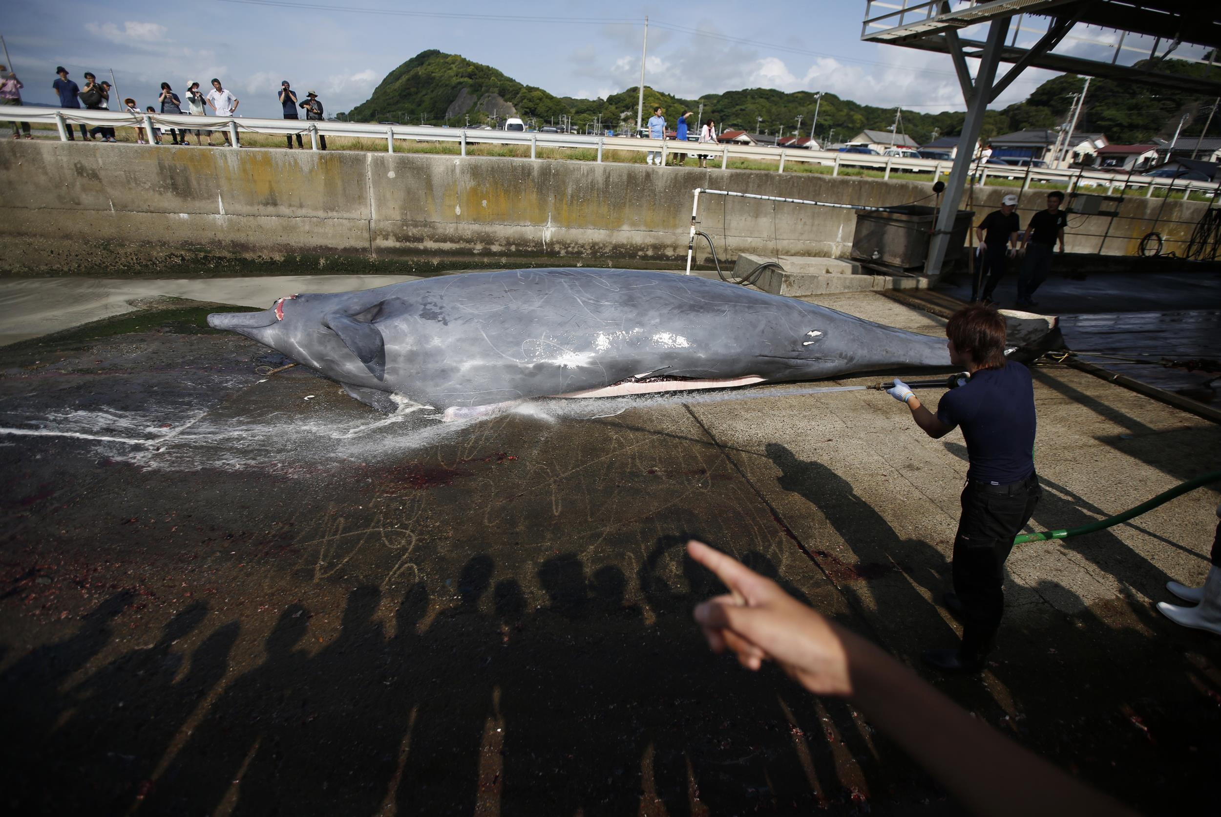 Image: A worker sprays water on a Baird's Beaked whale before butchering it, as shadows of a crowd of grade school students and residents are cast on the ground, at Wada port in Minamiboso