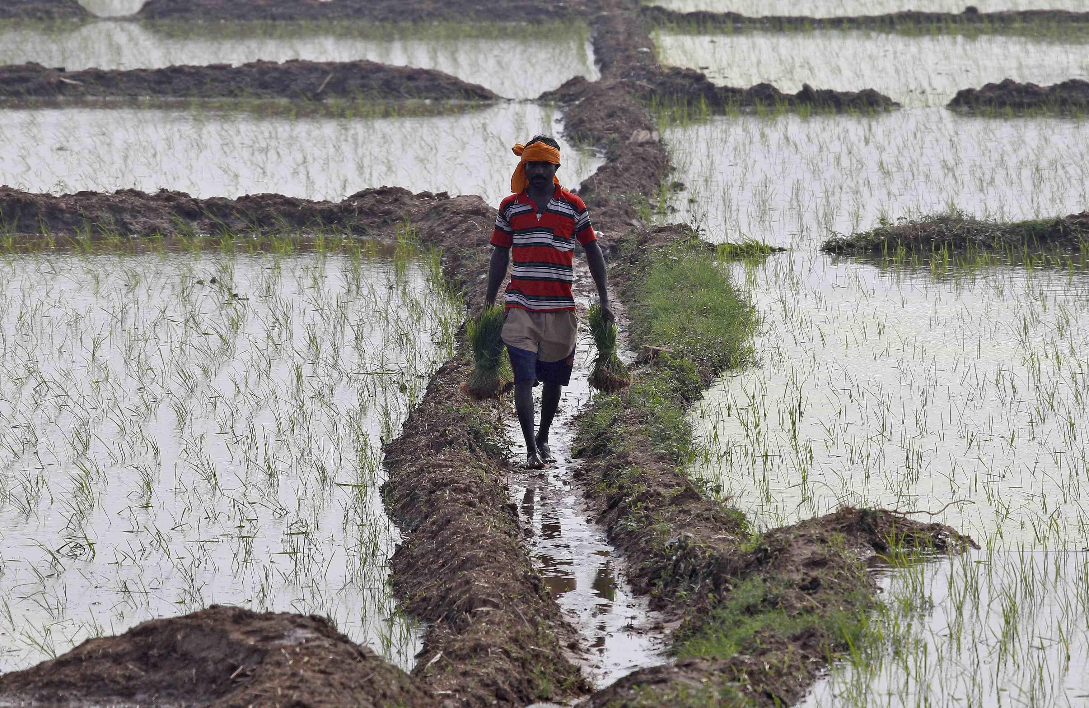 Image: A labourer carries saplings at a paddy field at Mullanpur village in Punjab