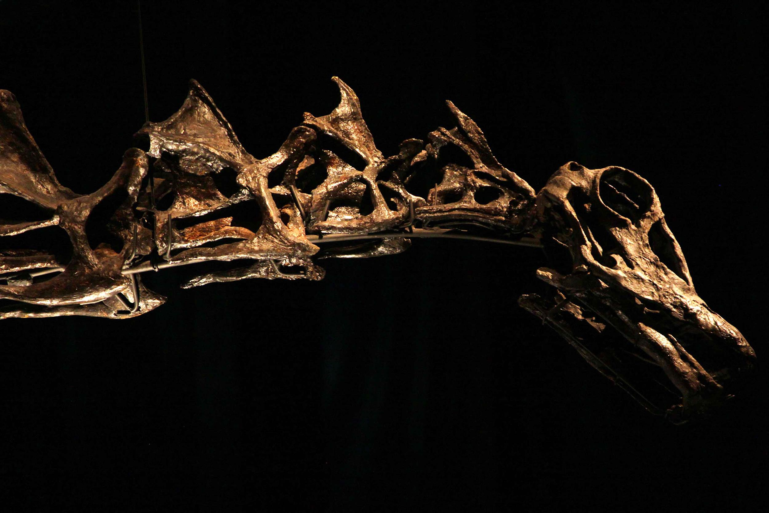 Image: View of the head of the Apatosaurio dinosaur fossil