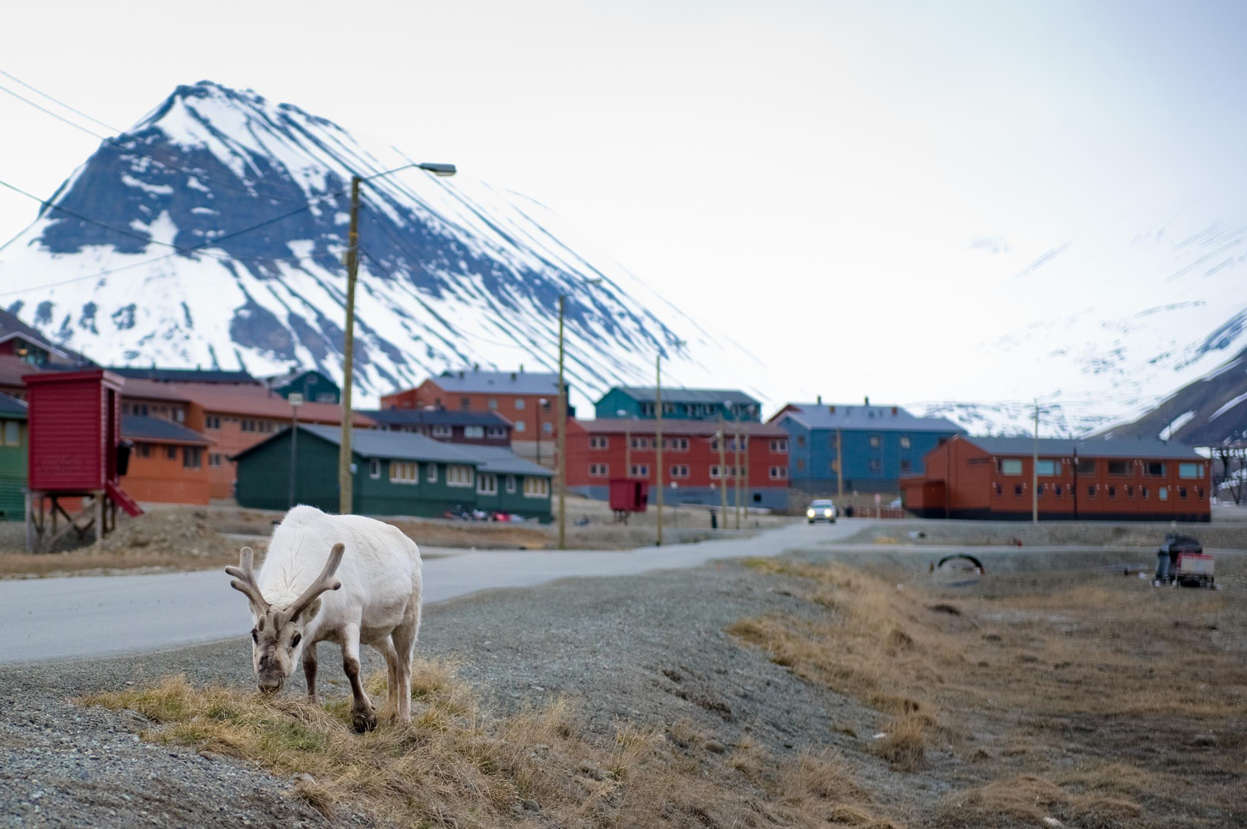Image: A reindeer eats in the streets of Norway
