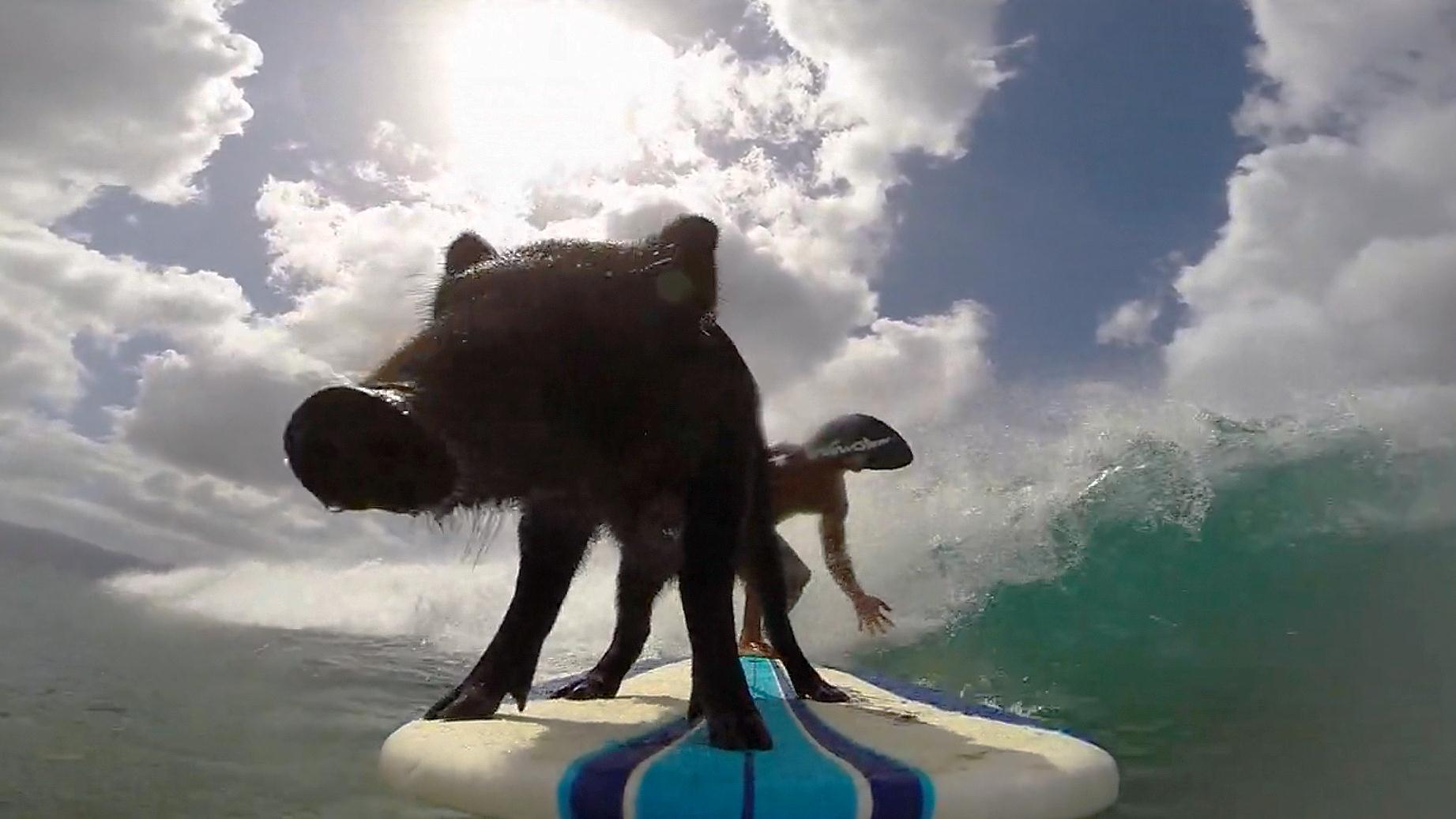 Image: GoPro cameras show Kama the pig, known as the mascot of Sandy Beach, riding waves with his owner Kai Holt.
