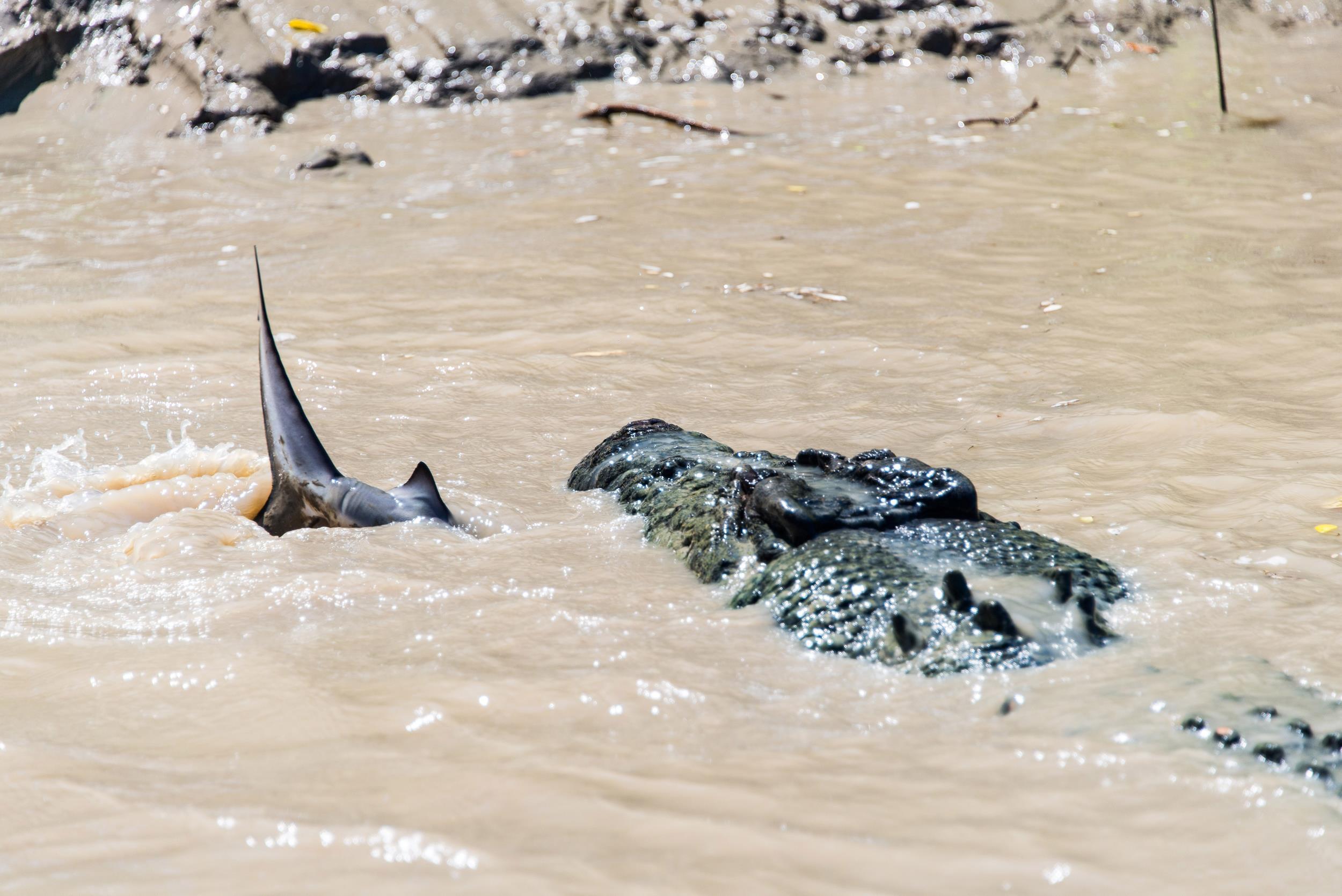 Alligator vs shark attacks - photo#7