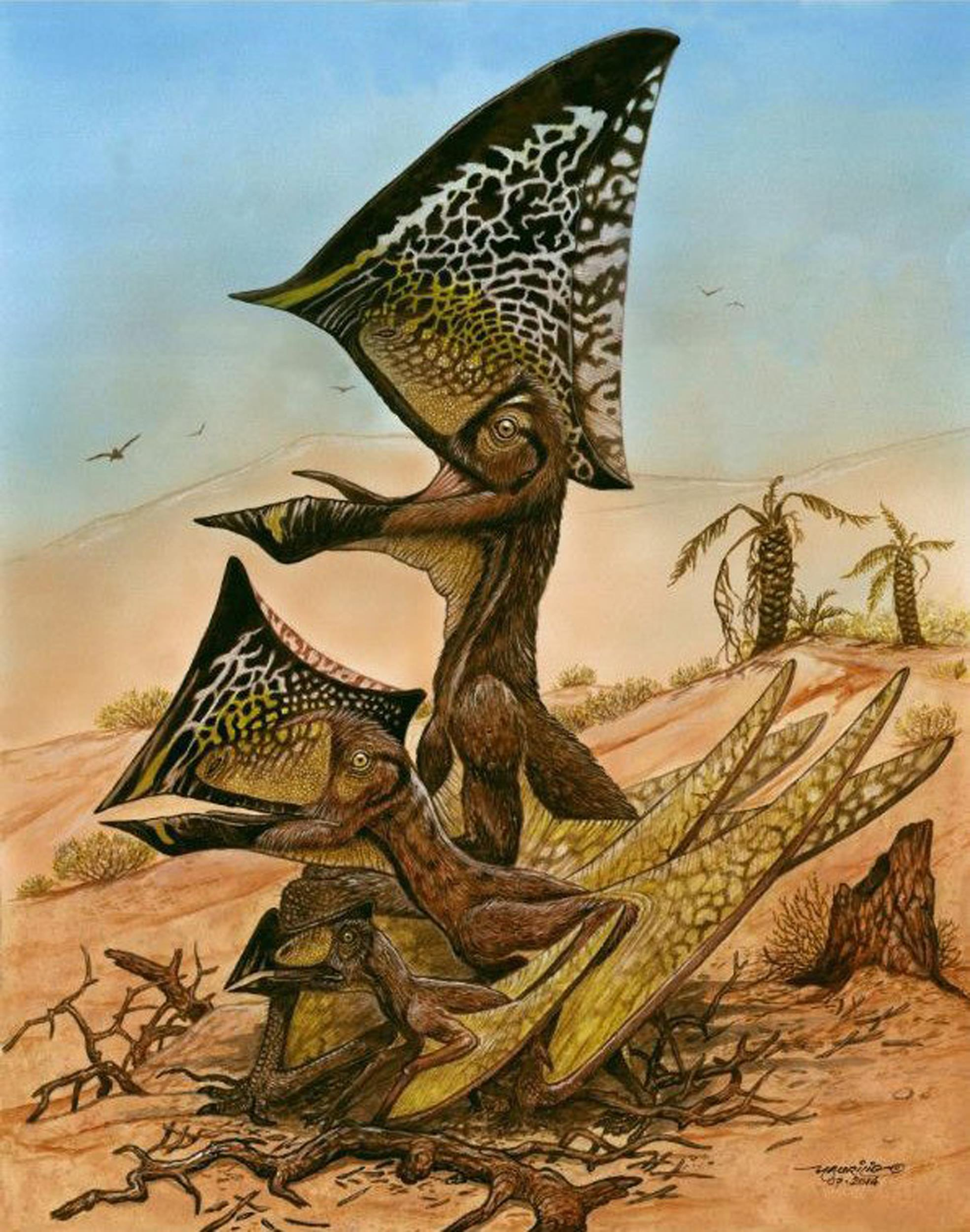 Image: A reconstruction of three ontogenetic (growth) stages of the new pterosaur Caiuajara dobruskii is seen in an undated illustration released on Aug. 13