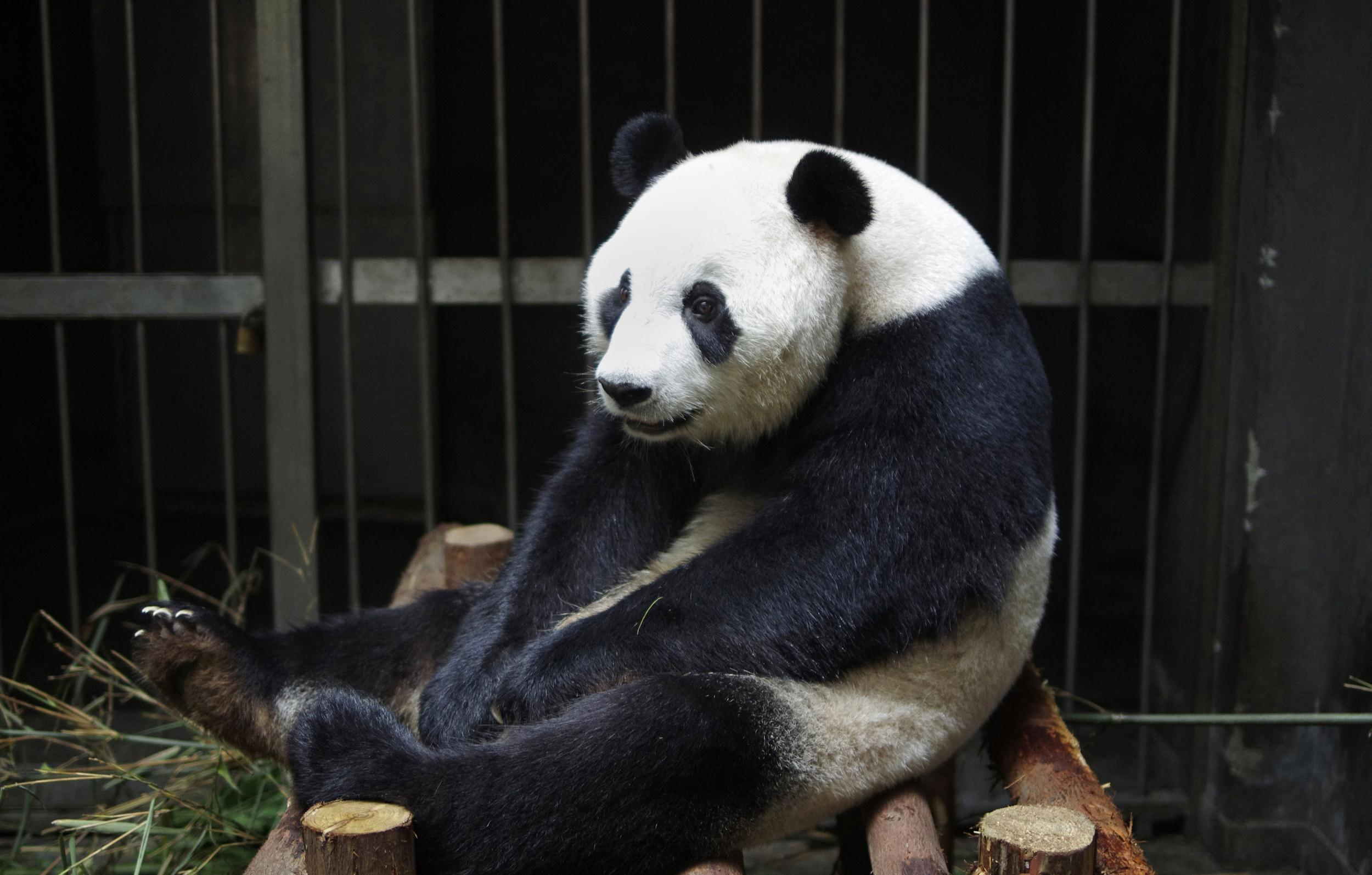 Image: CHINA-ANIMAL-PANDA-OFFBEAT
