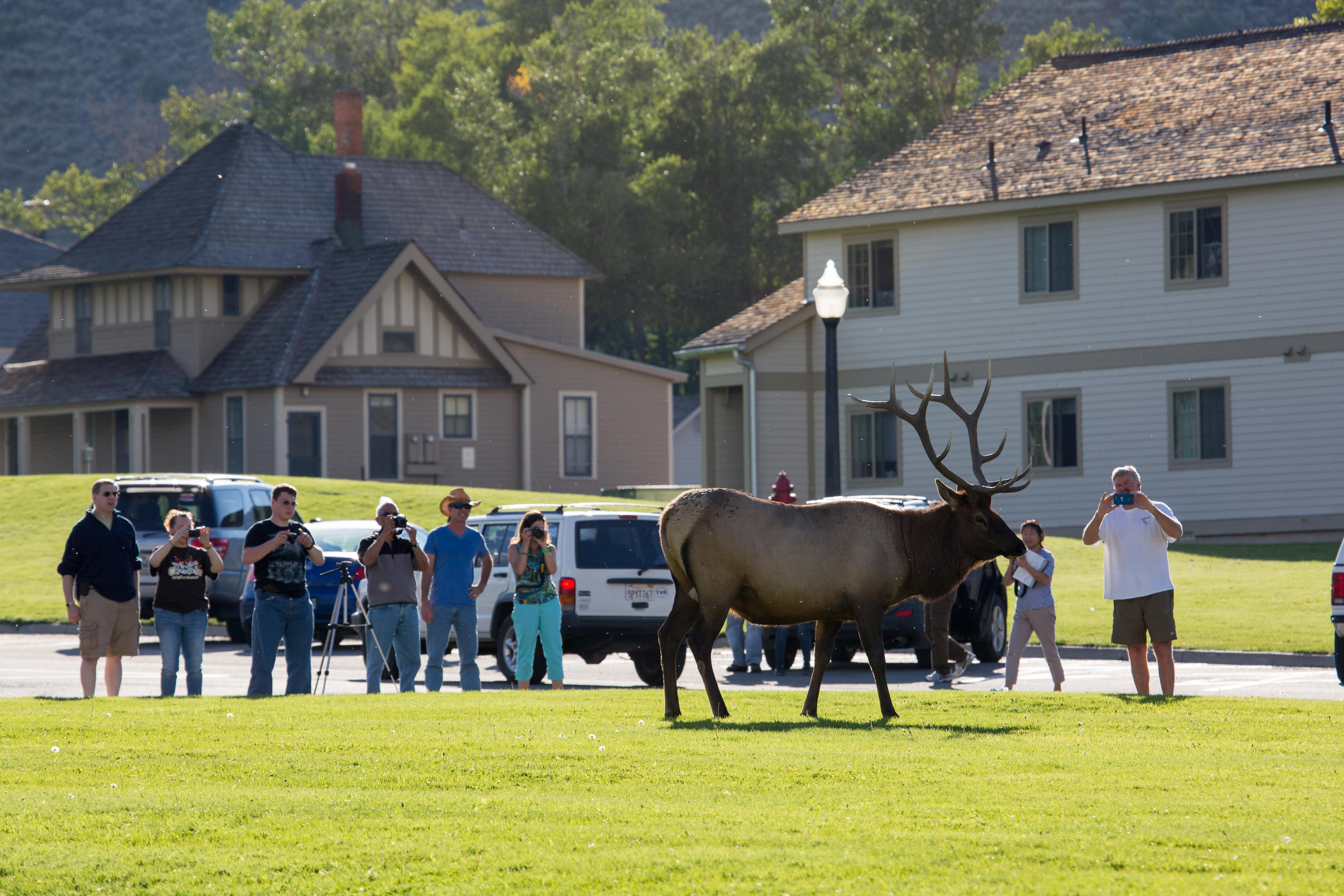 Image: Visitors encounter an elk in Yellowstone National Park.