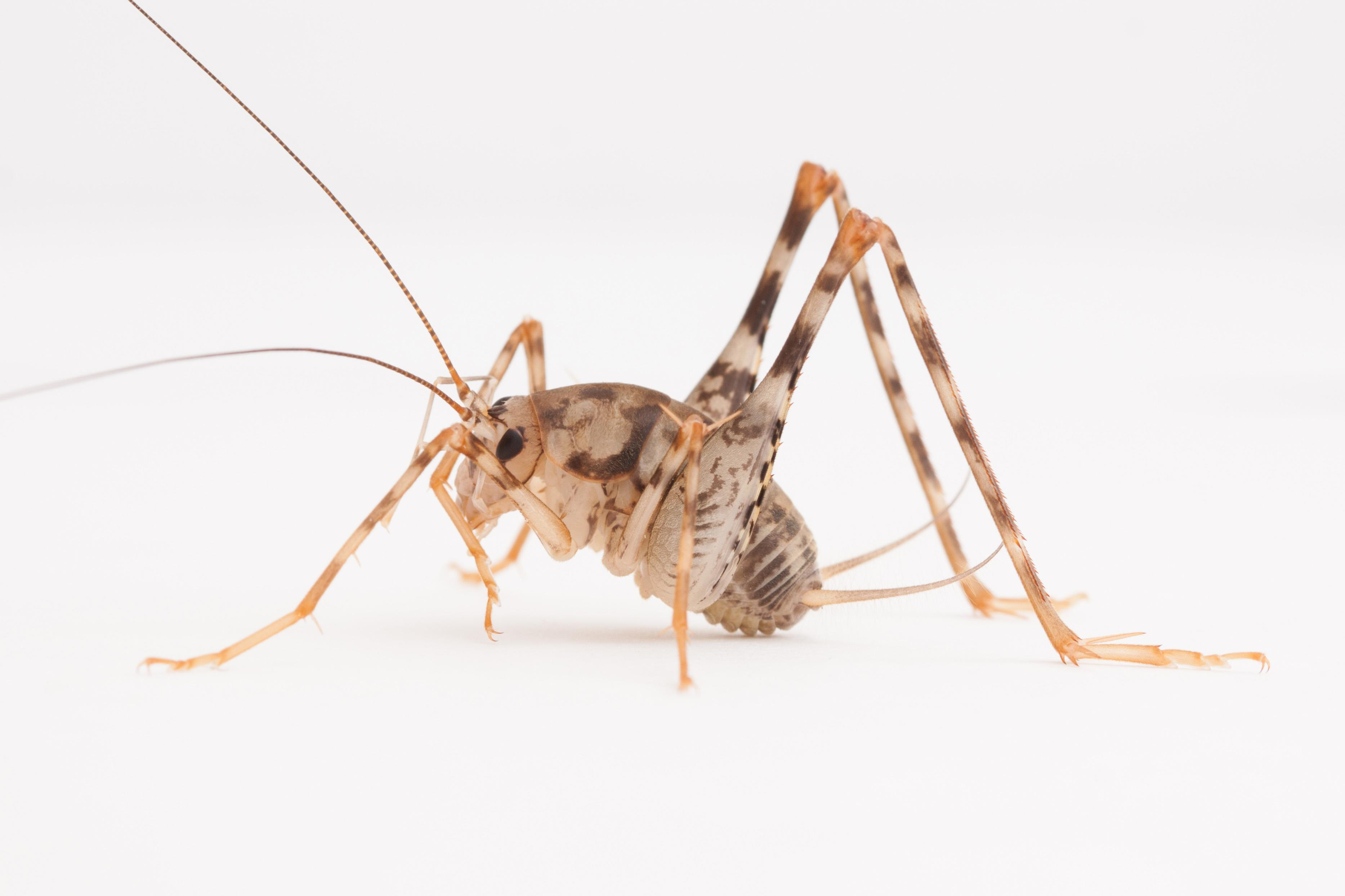 invasive camel crickets may take over in u s homes nbc news