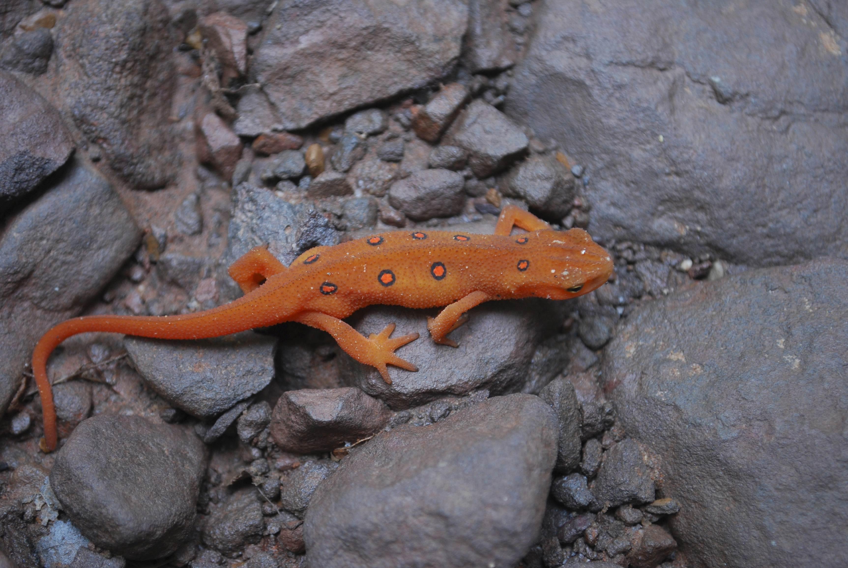 N American Salamander Salamander-Killing Fun...