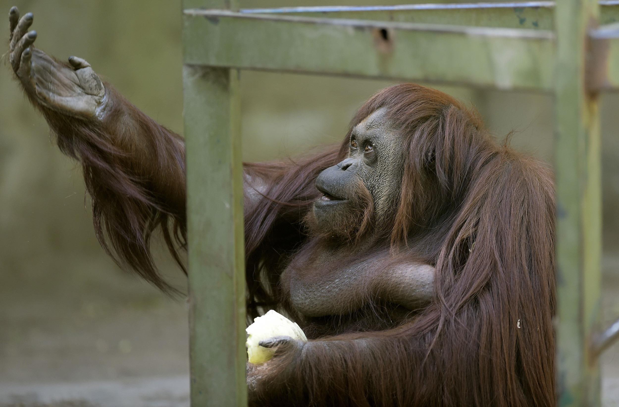 Рассказ секс с орангутангом 3 фотография