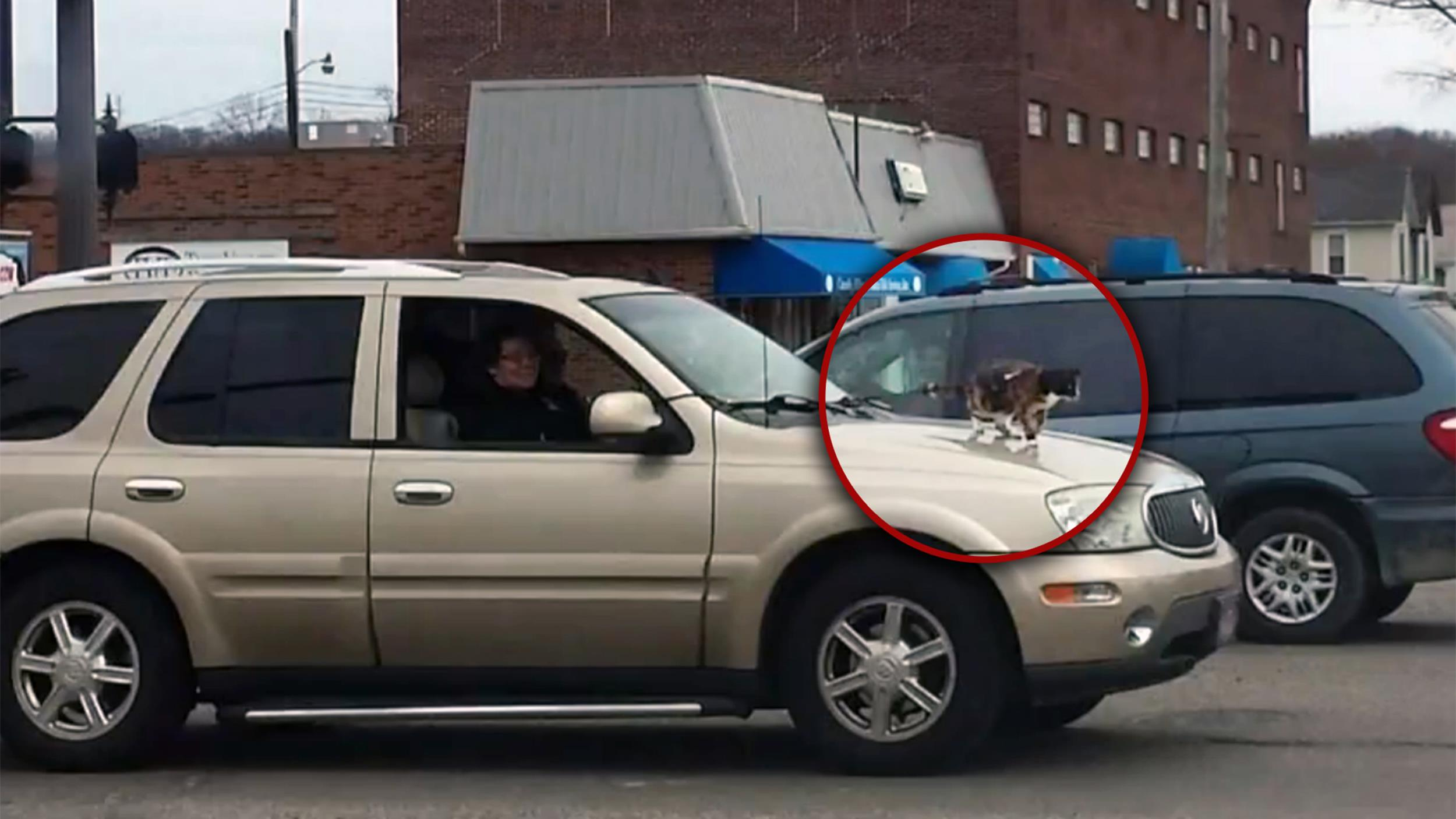 Car Exhaust Hood ~ Picture captures leashed cat riding on car hood in ohio