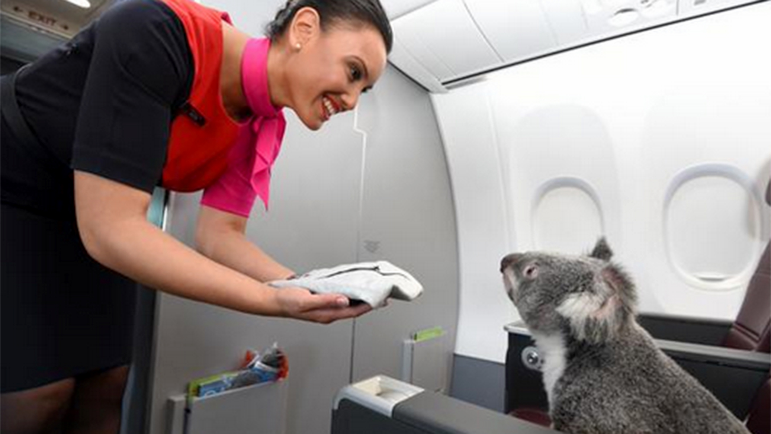 Koalas go first class as qantas flies them to singapore for Can service dogs fly in cabin