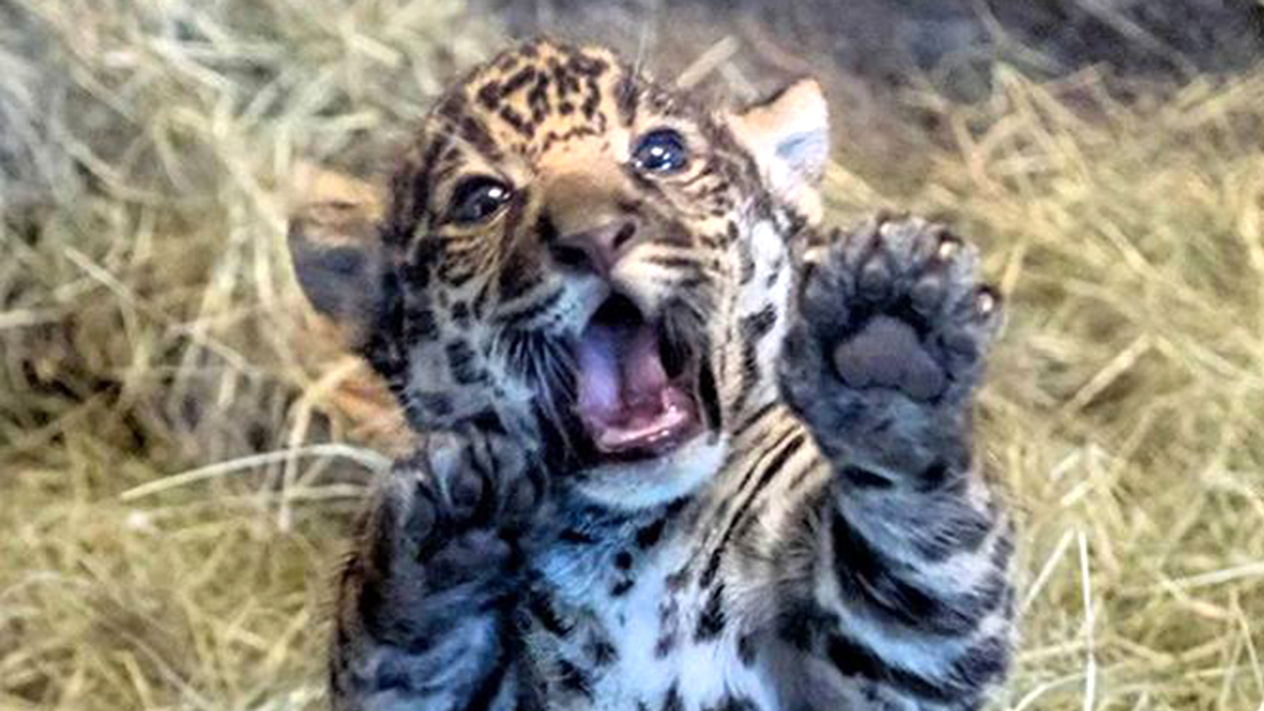 San Diego Zoo's Playful Baby Jaguar Will Melt Your Heart