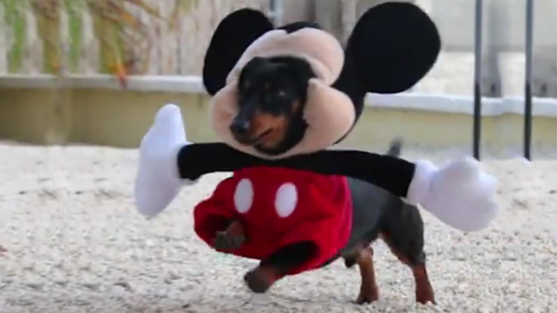 Fantastic Wallpaper Halloween Puppy - dog-dachshund-micky-mouse-tease-120419_ebe81f6c4f598f4b9946c7529f04244c  2018_166367.jpg