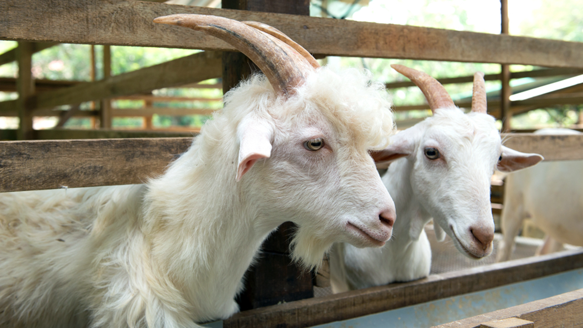 Alabama Couple To Give Away Goat Farm To Essay Winner