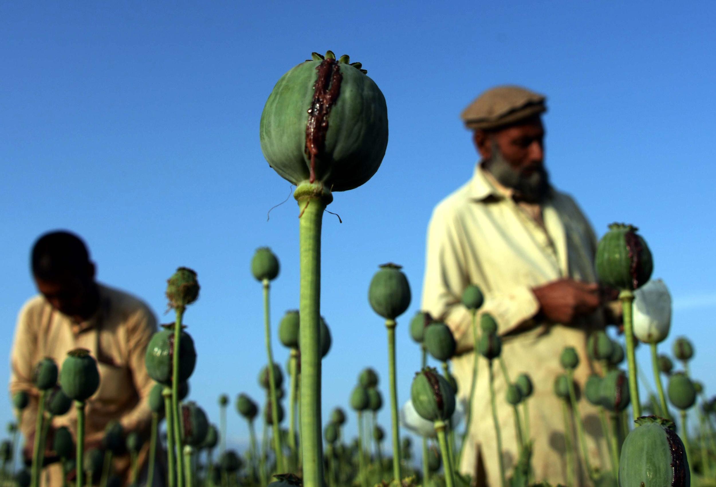 As Heroin Use Grows In Us Poppy Crops Thrive In Afghanistan