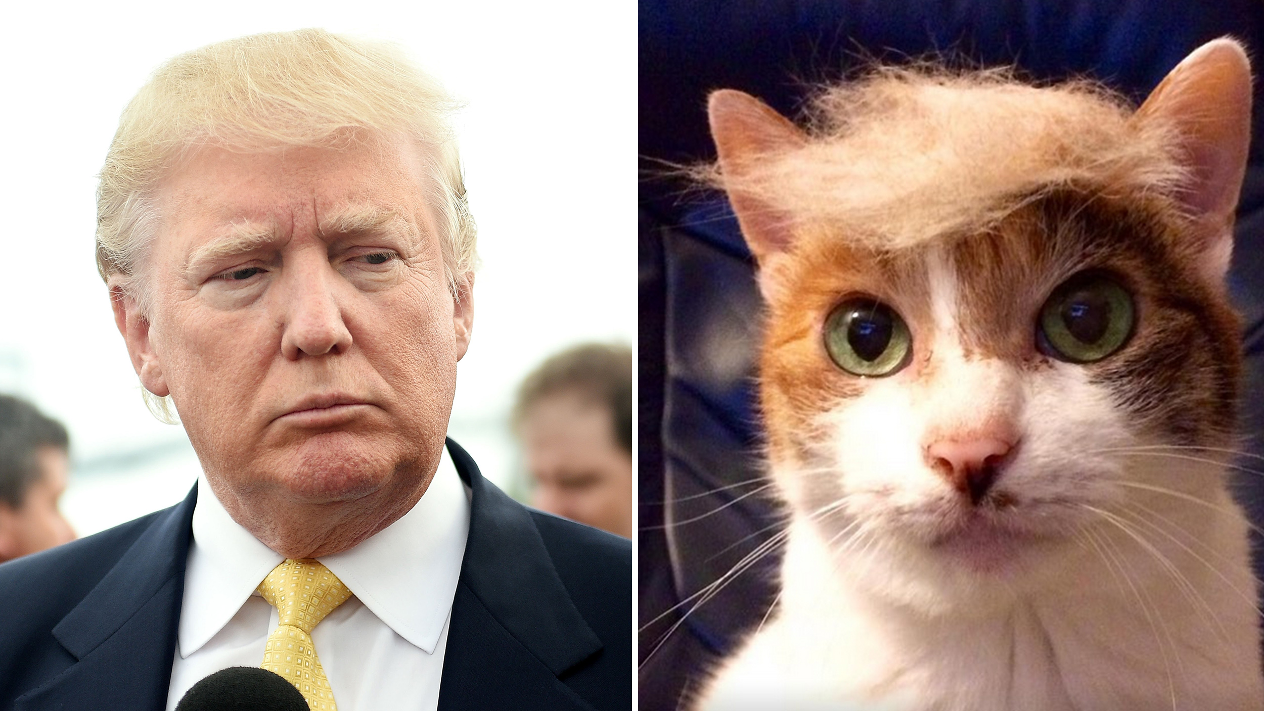 Donald Trump Funny Hair Memes : Donald trump cat hair meme whereismyvote