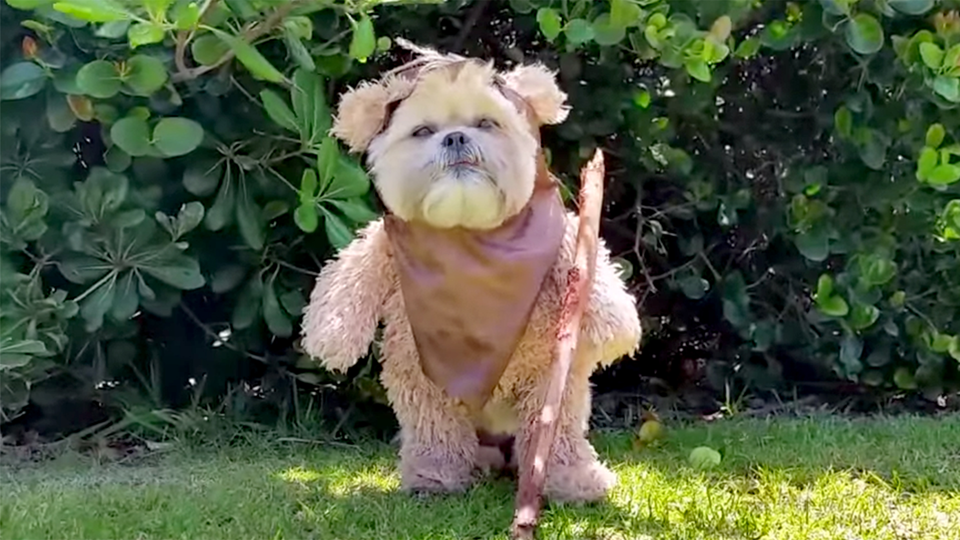 Star Wars Fans Munchkin The Dogs Cute Ewok Impression Is A Must See