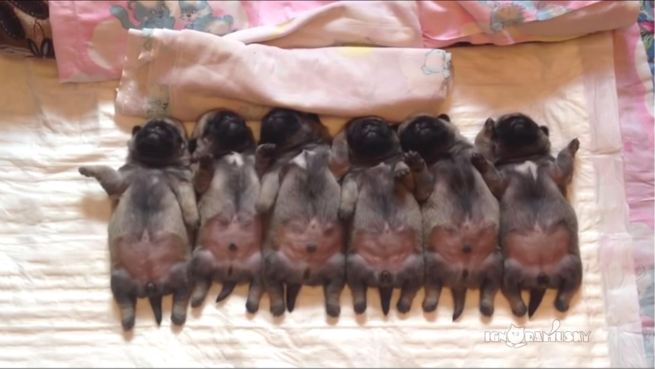 Sweet Dreams Watch 6 Adorable Baby Pugs Sleep In Unison
