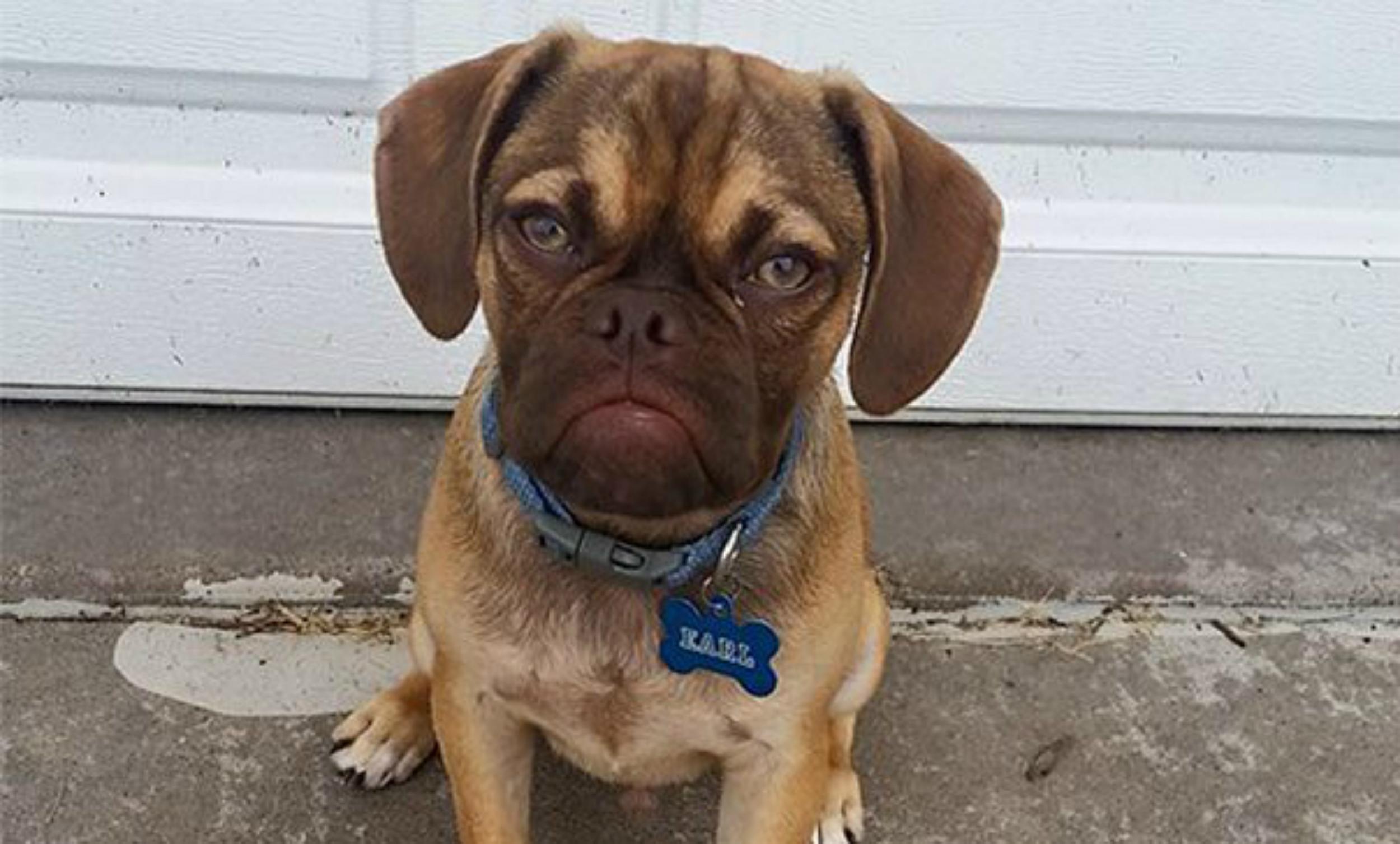 today earl grumpy tease 150801_df7bd099fa02a8c6d624337a5284de68 the new grumpy cat? meet earl the grumpy puppy
