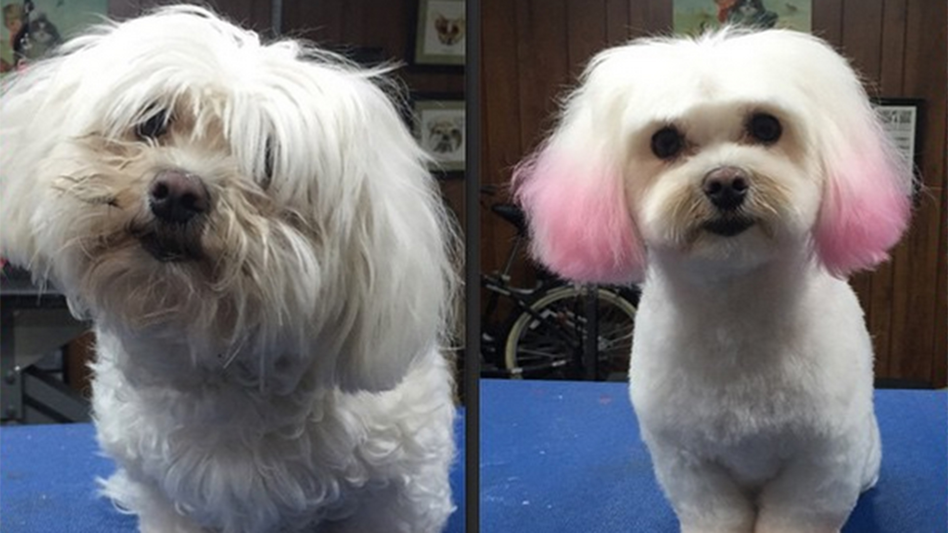 This La Dog Groomer Gives Her Customers Hair With Flair