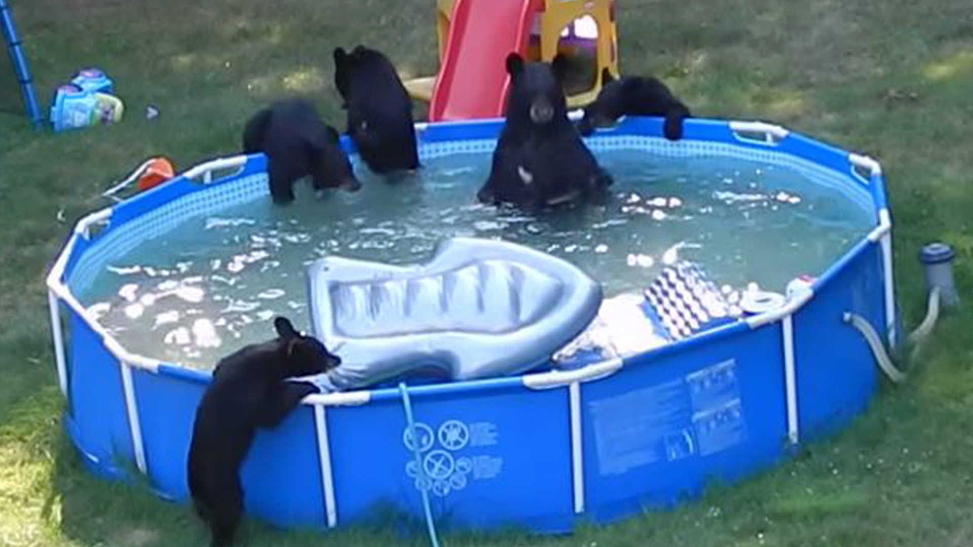 bear and five cubs frolic in new jersey family 39 s pool