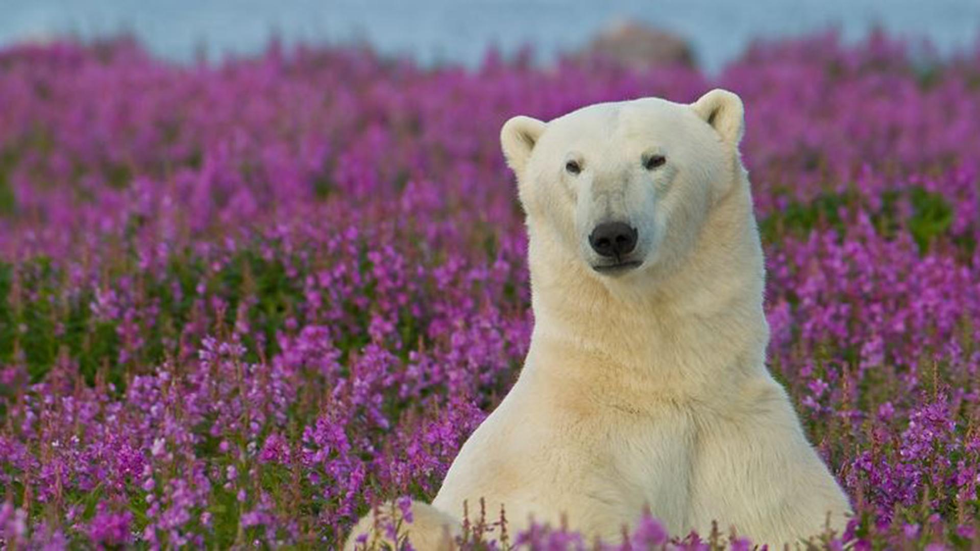 Белые медведи в цветах фото