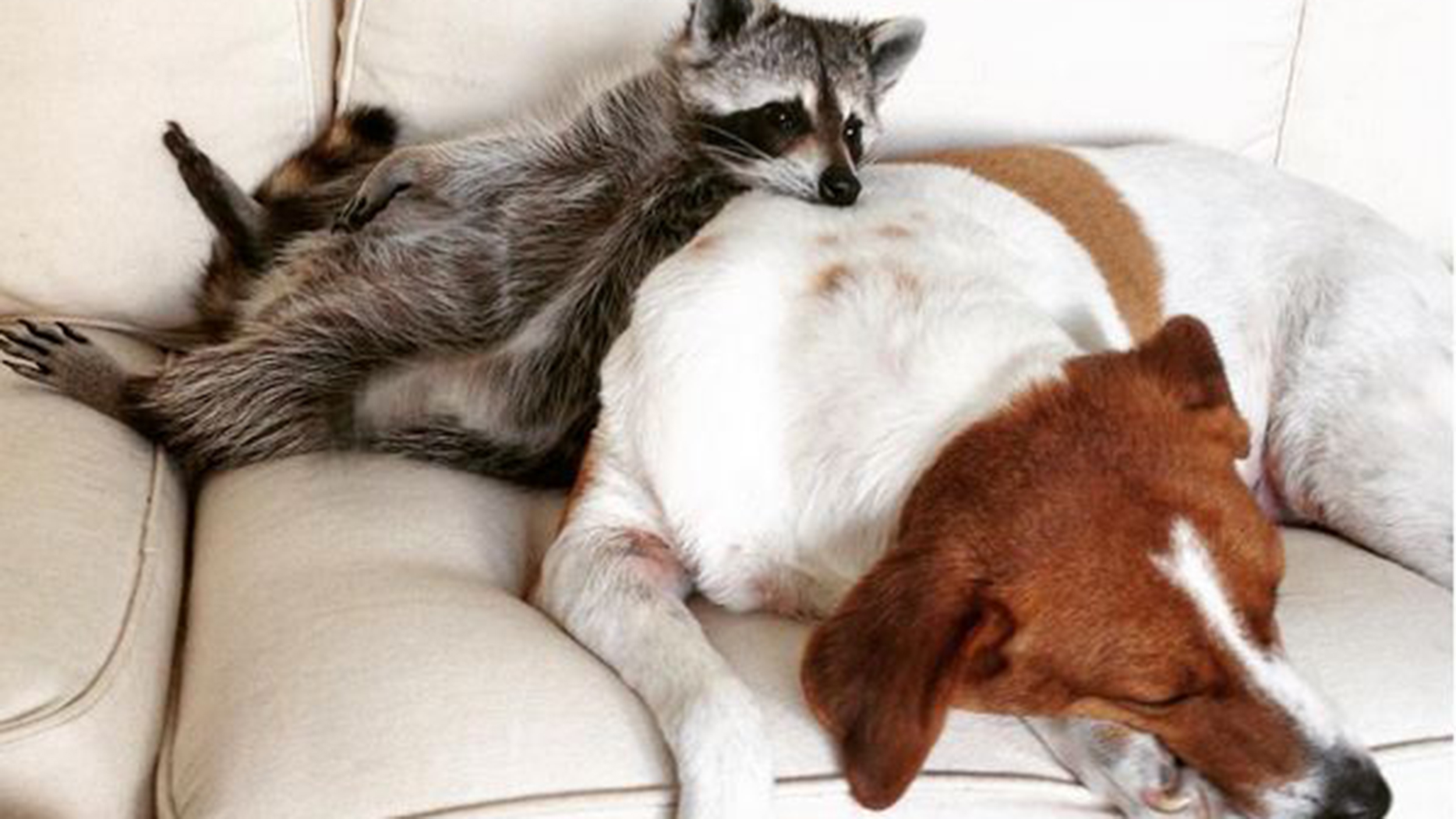 Meet Pumpkin The Rescued Raccoon Who Thinks Shes A Dog - Pumpkin rescued raccoon