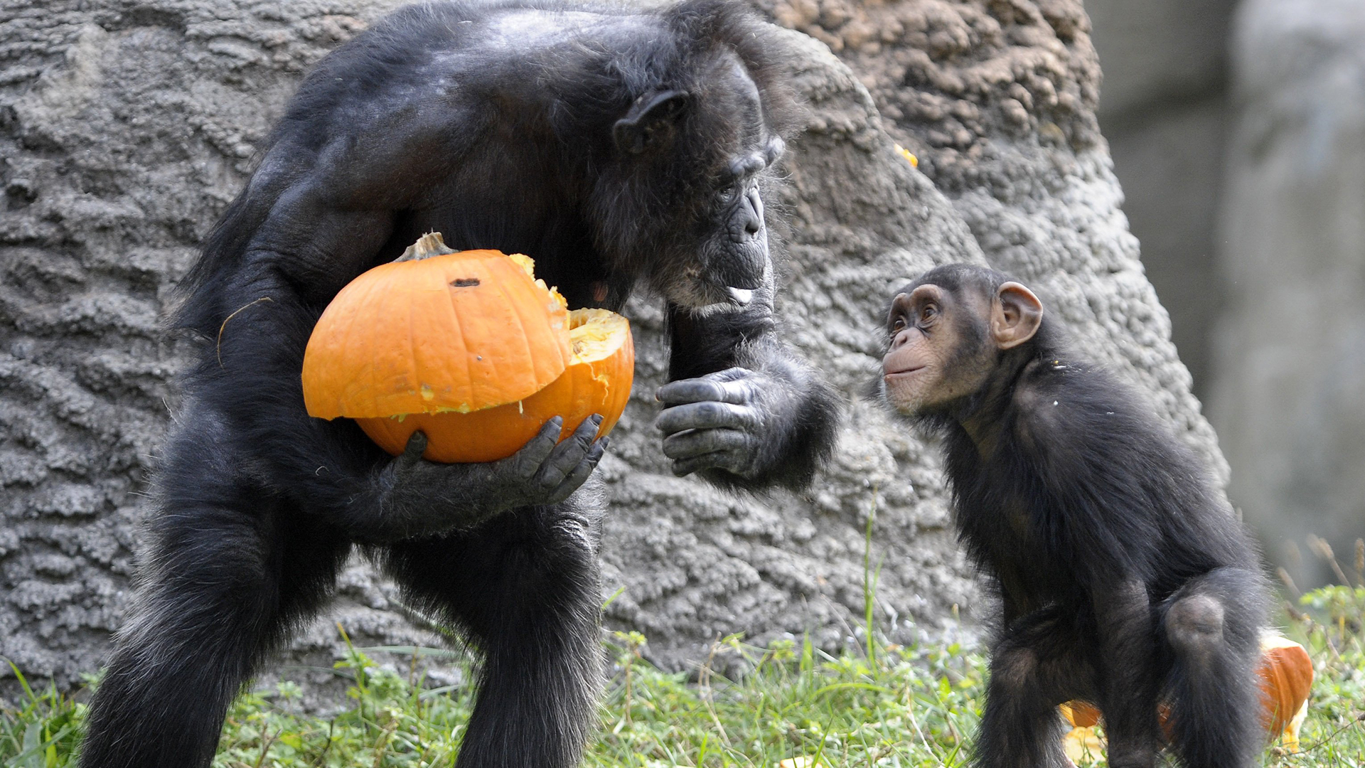 Pumpkin carving in this week s best animal photos today