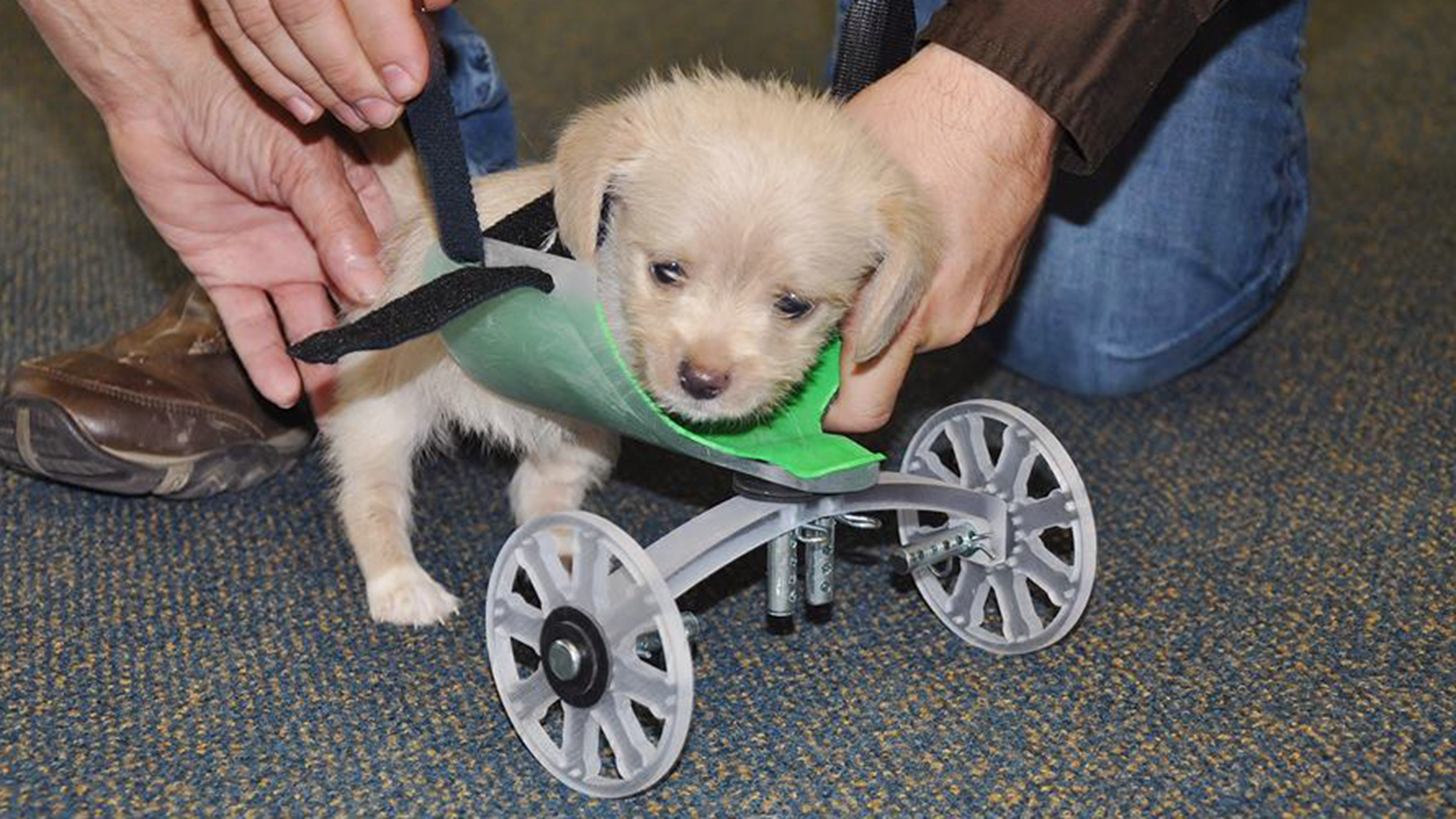 Tumbles The Two Legged Puppy Takes First Steps With Printed Wheelchair