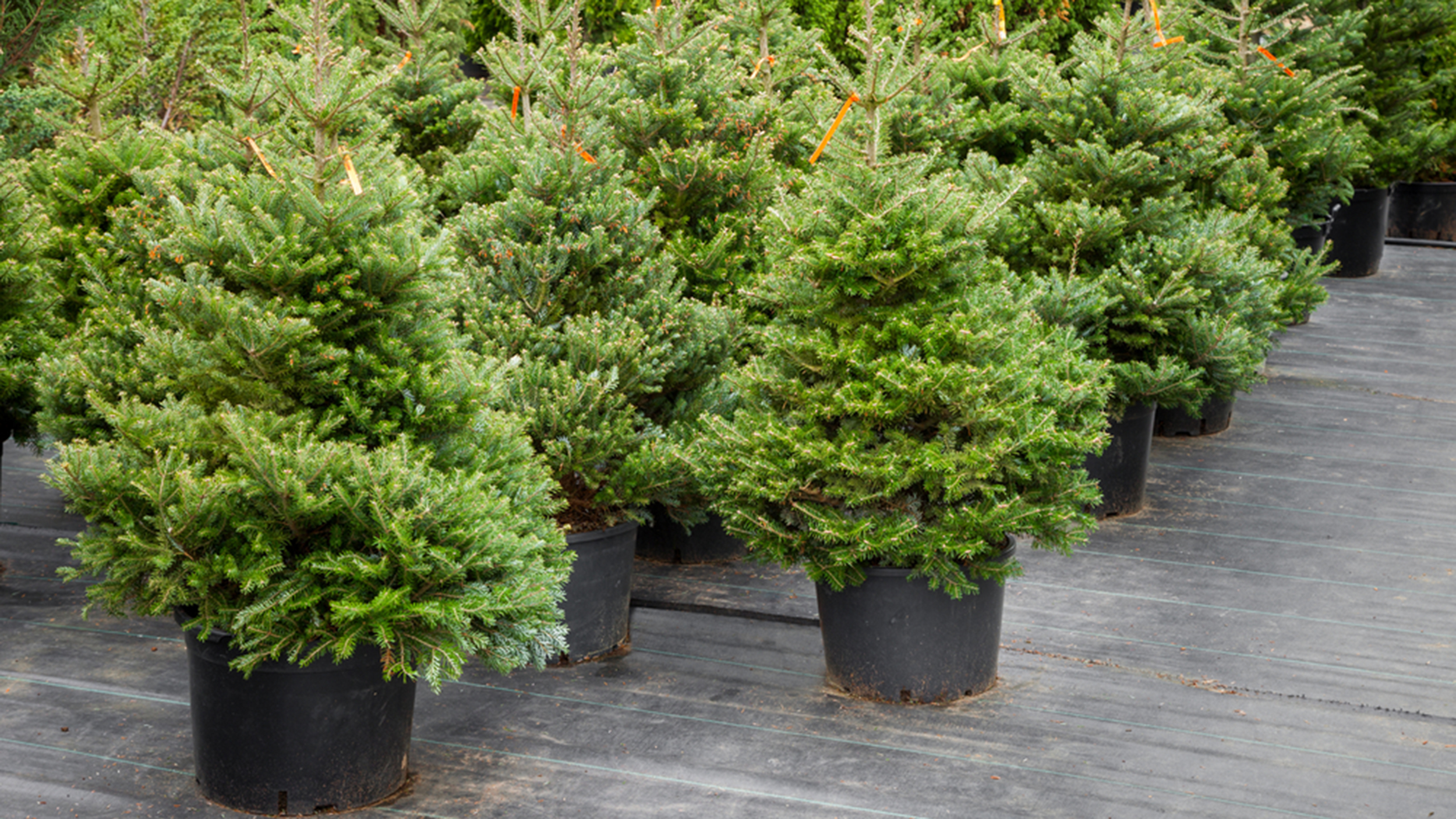 christmas tree shopping heres what you need to know
