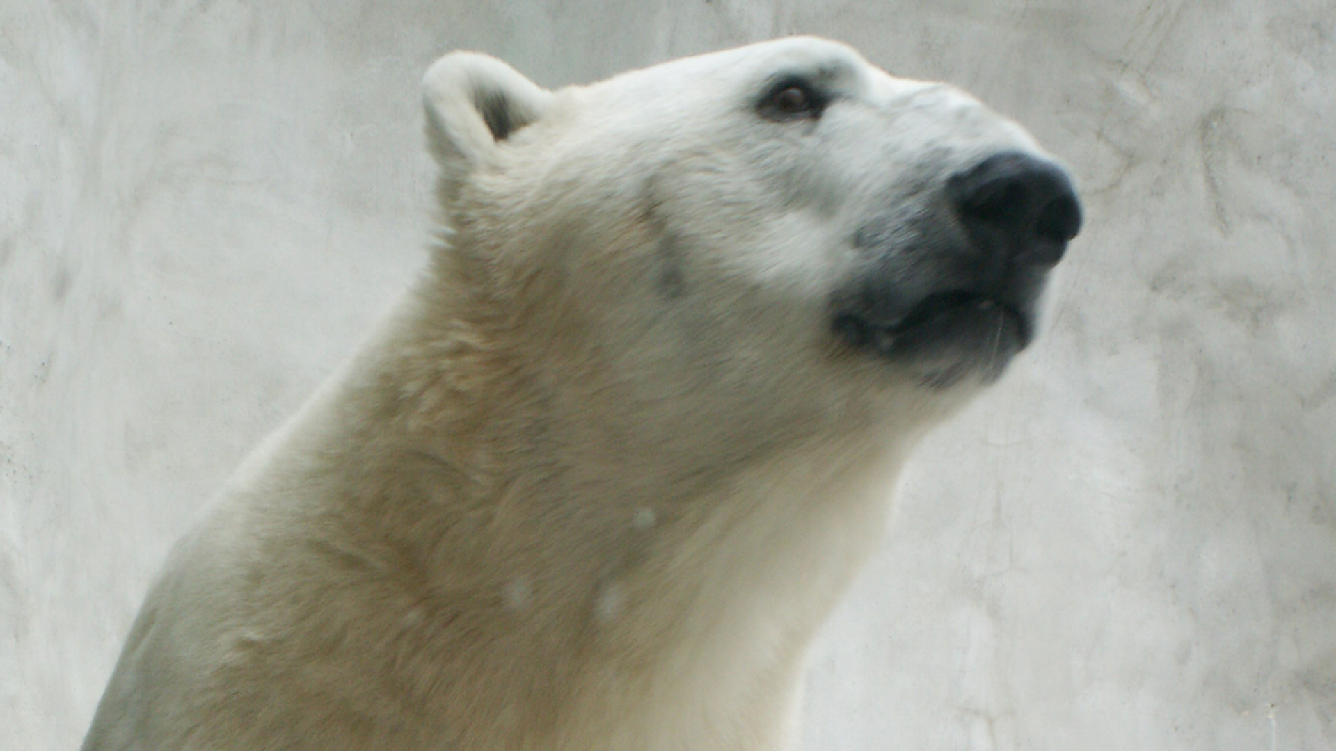 toledo zoo welcomes new addition watch mother polar bear snuggle toledo zoo welcomes new addition watch mother polar bear snuggle adorable cub com