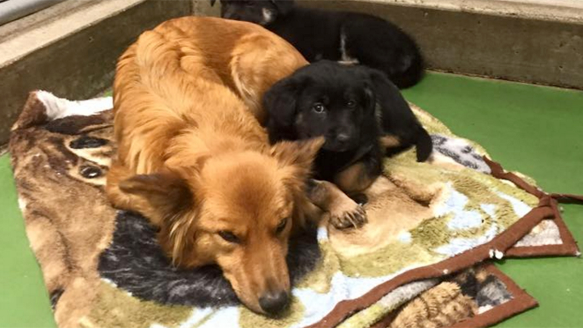 Dog Sneaks Out Of Kennel To Comfort Puppies