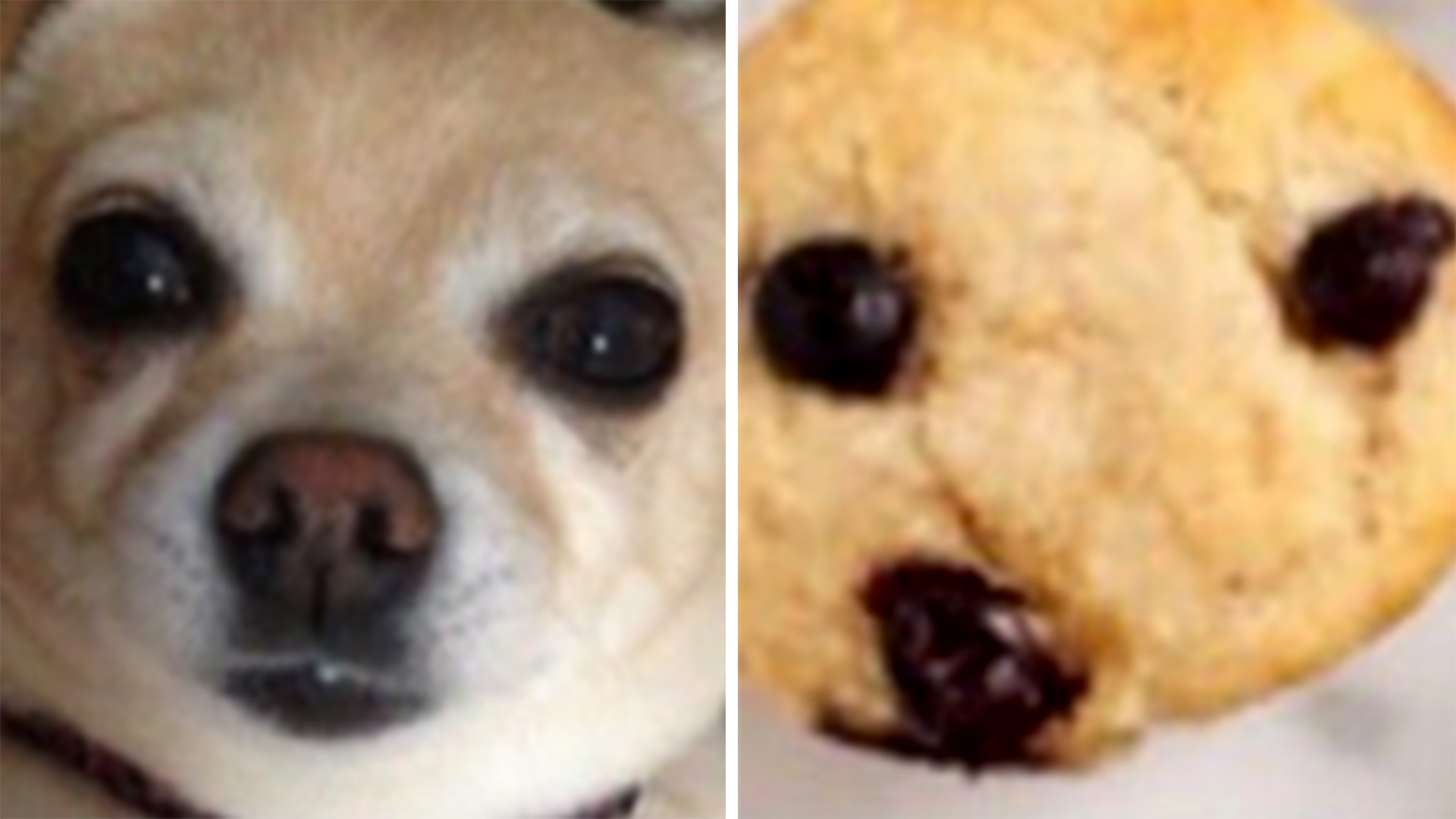 blueberry muffin or chihuahua goofy new internet meme asks is this a chihuahua or 3920