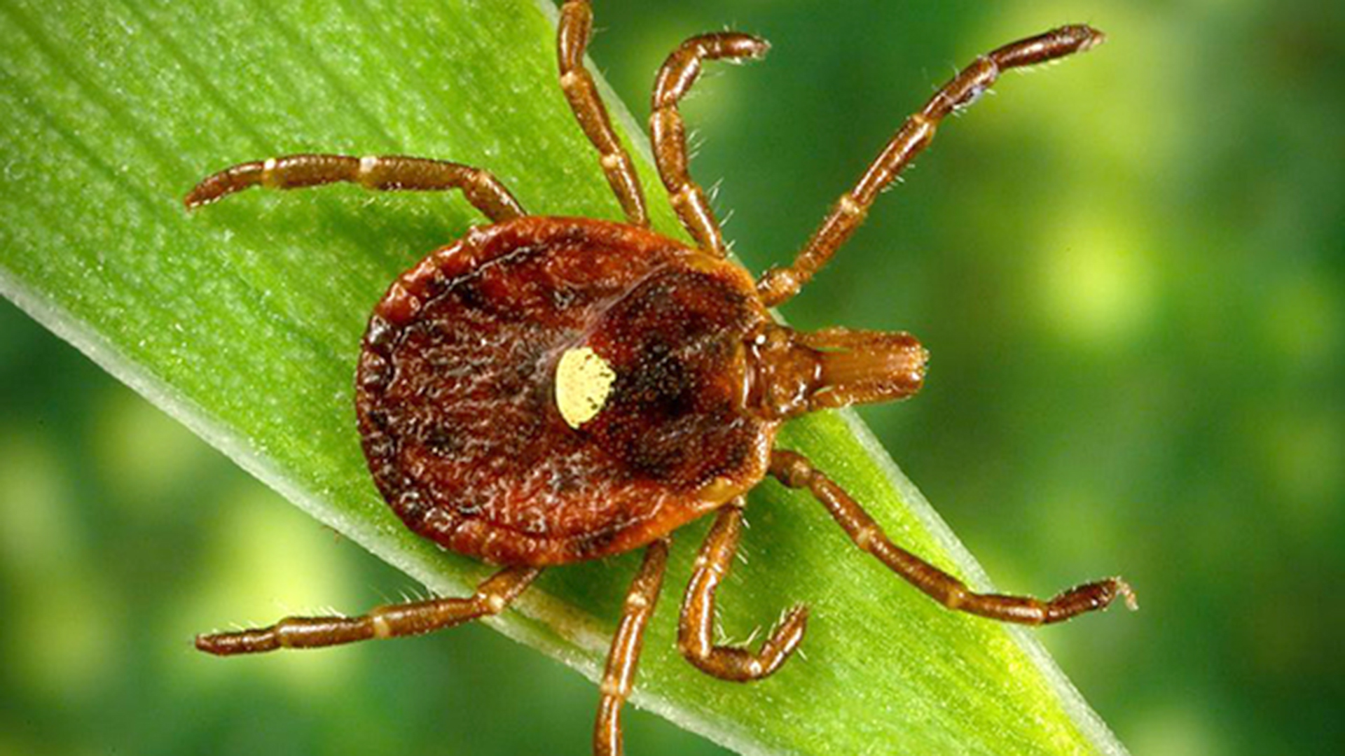 pictures of ticks - HD 1920×1080